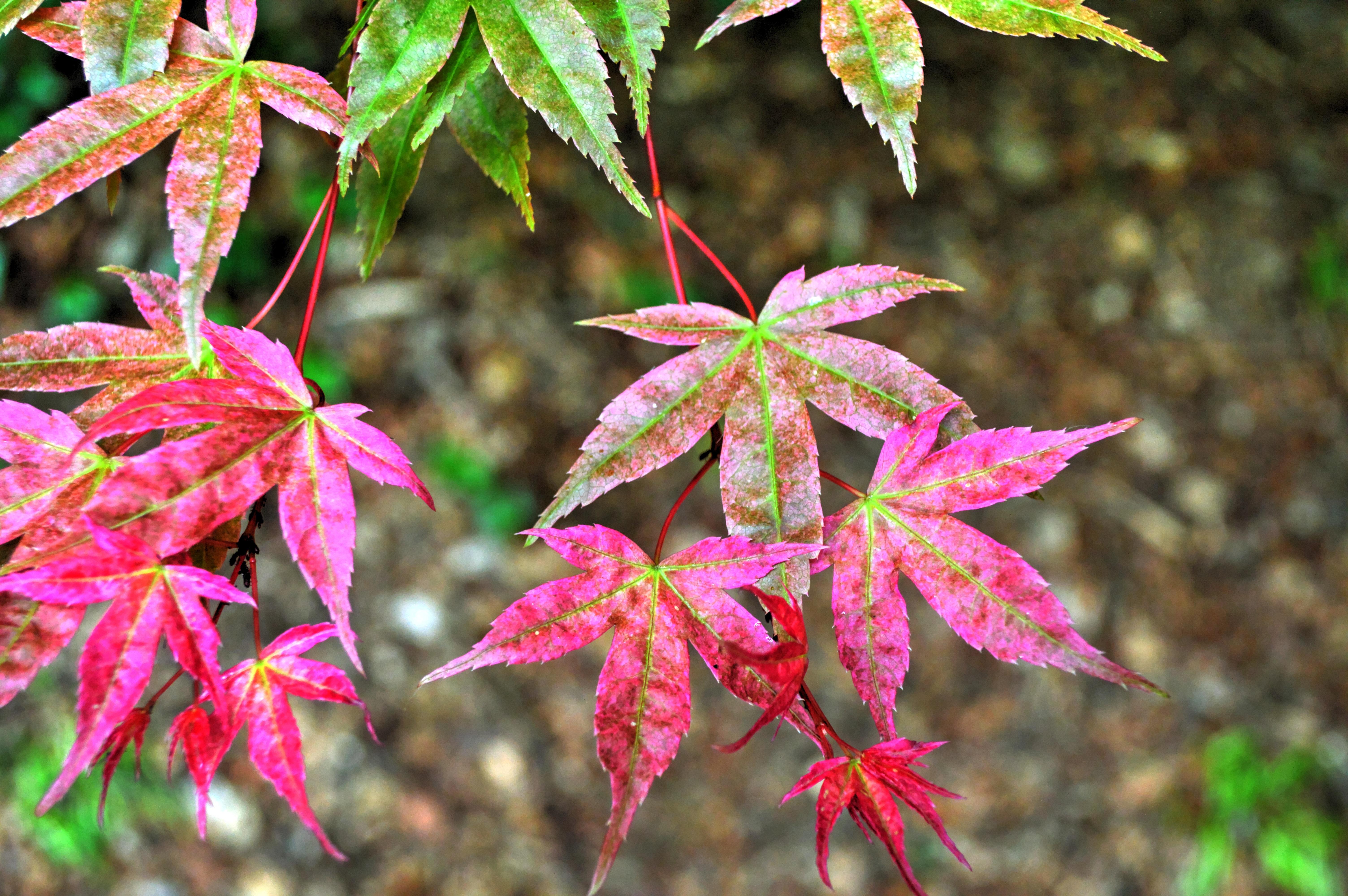 Images gratuites arbre la nature feuillage printemps for Plante feuille rouge