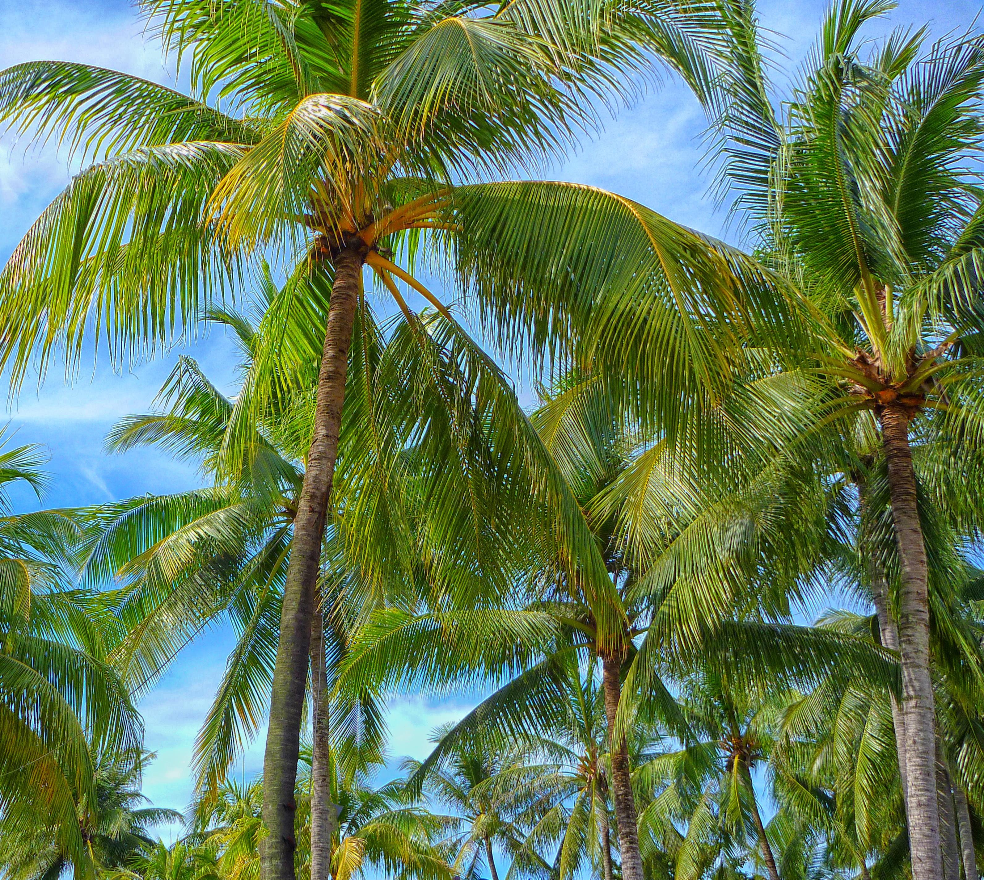 Free Images Outdoor Branch Palm Tree Flower Food Jungle Produce Tropical Island Botany Vegetation Rainforest Habitat Tropics Flowering Plant