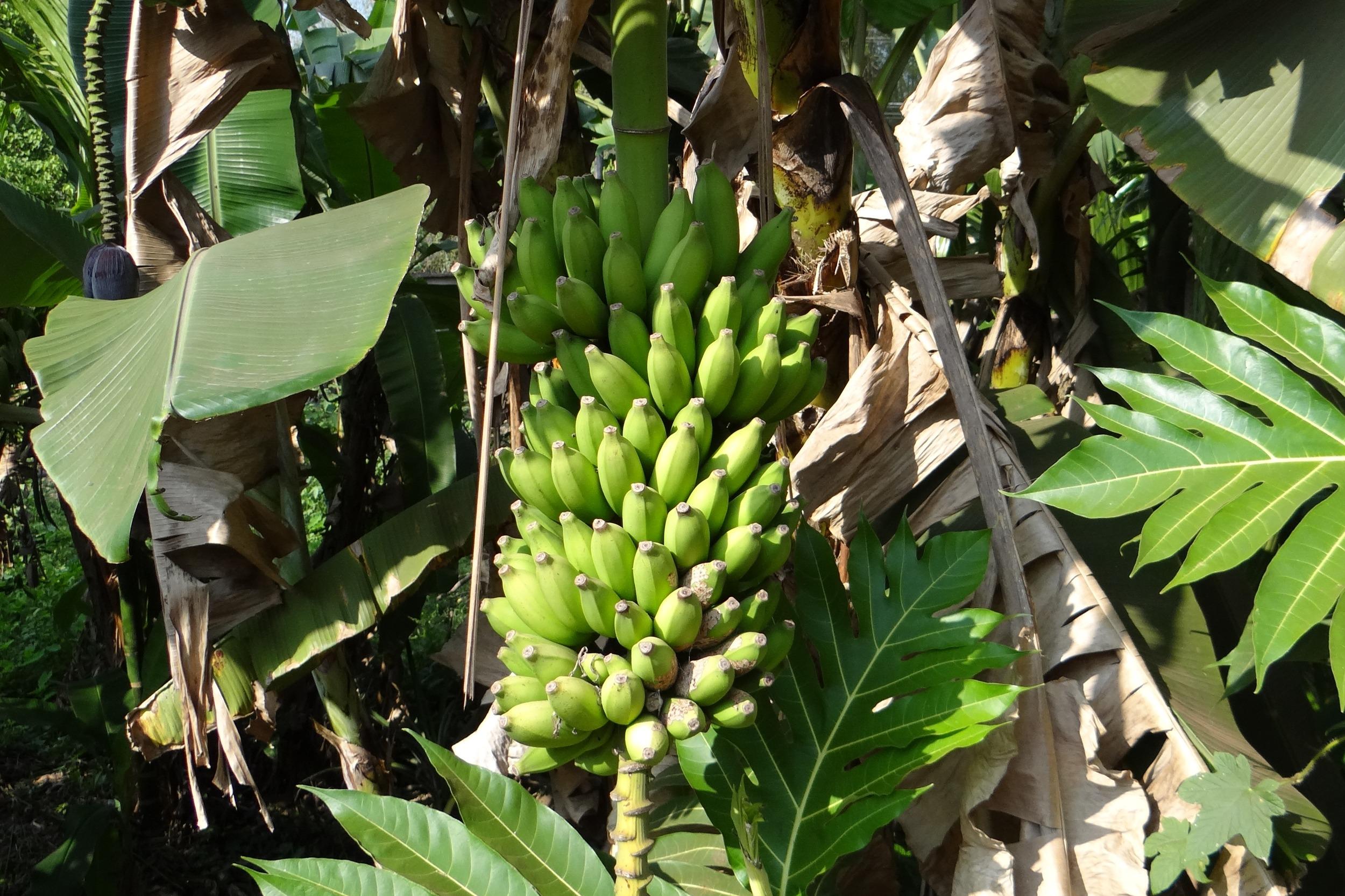 сожалению, фрукты бананы деревья фото поступили продажи земельного