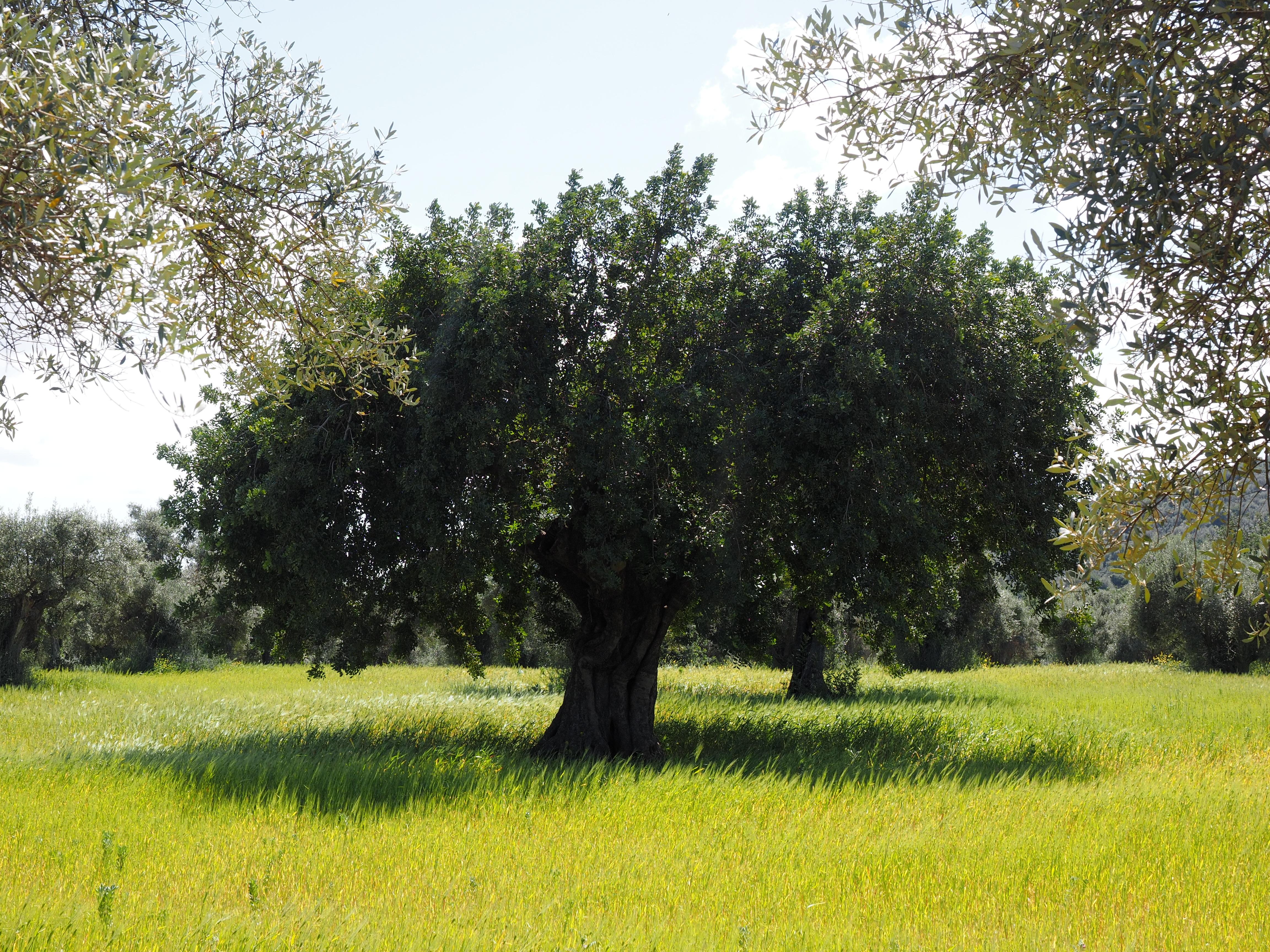 planter une oliveraie