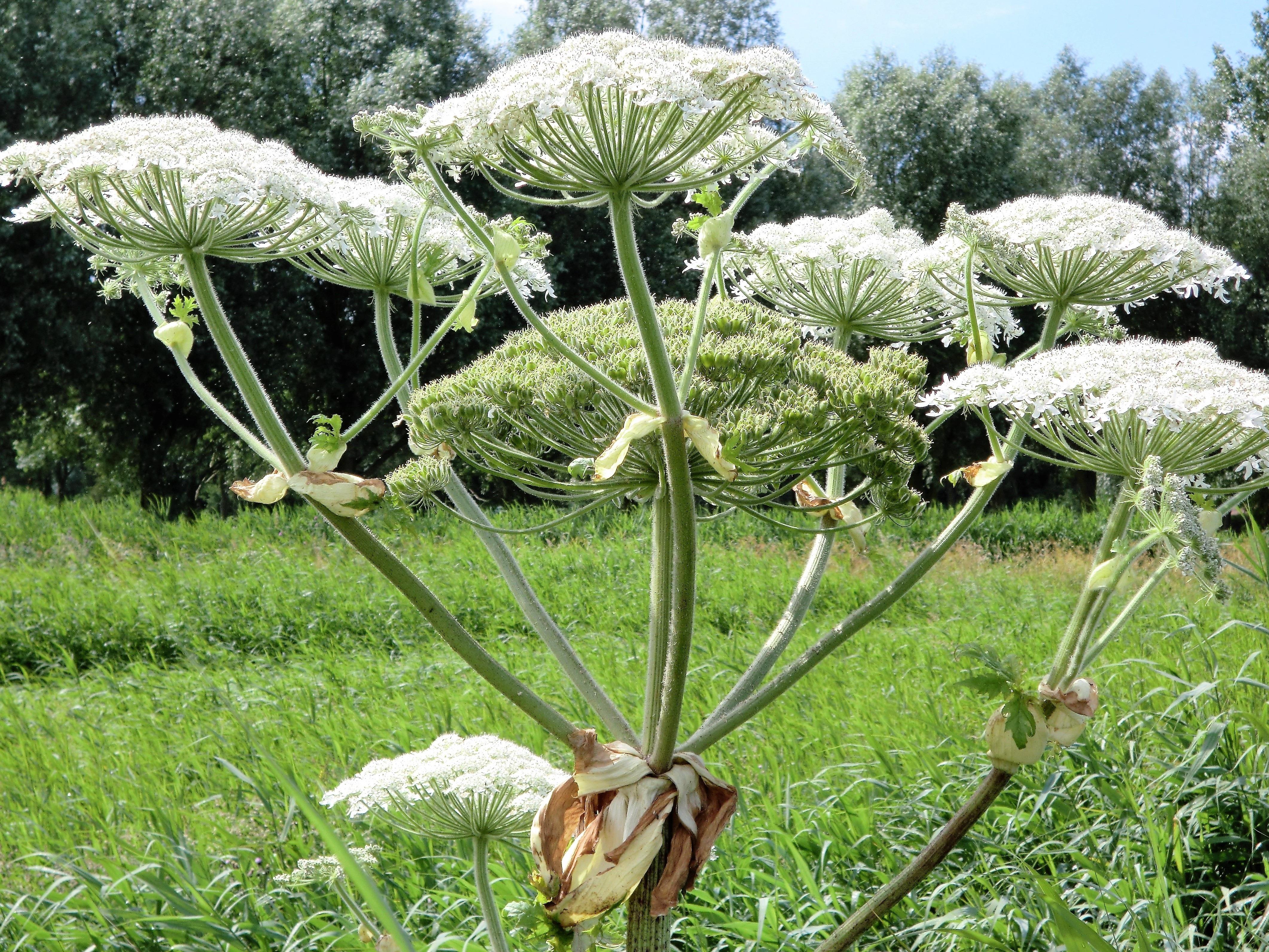 Images gratuites arbre fleur aliments produire for Plante angelique