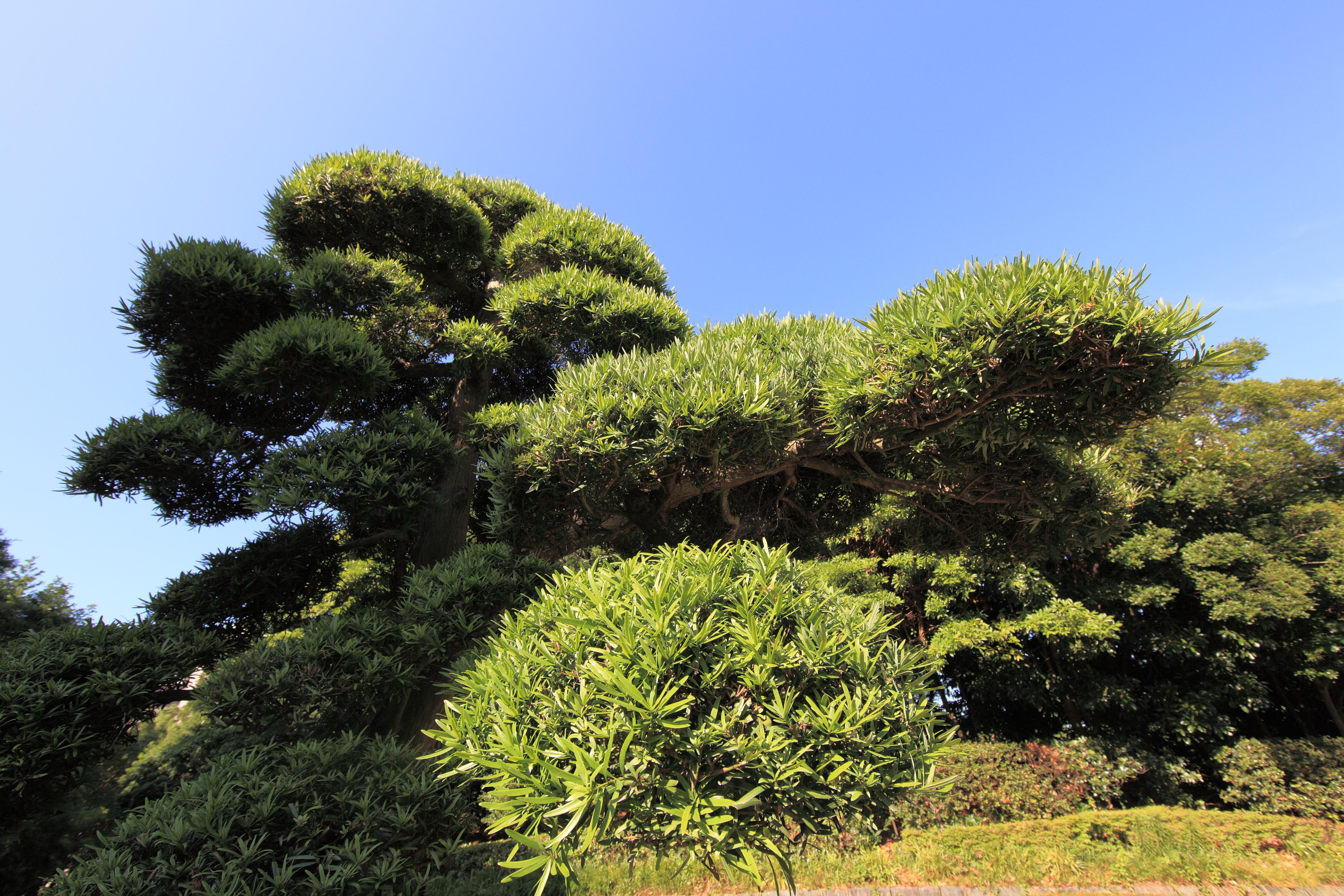 соперника фото вечнозеленые деревья деревьев работу нанесению, приведенная