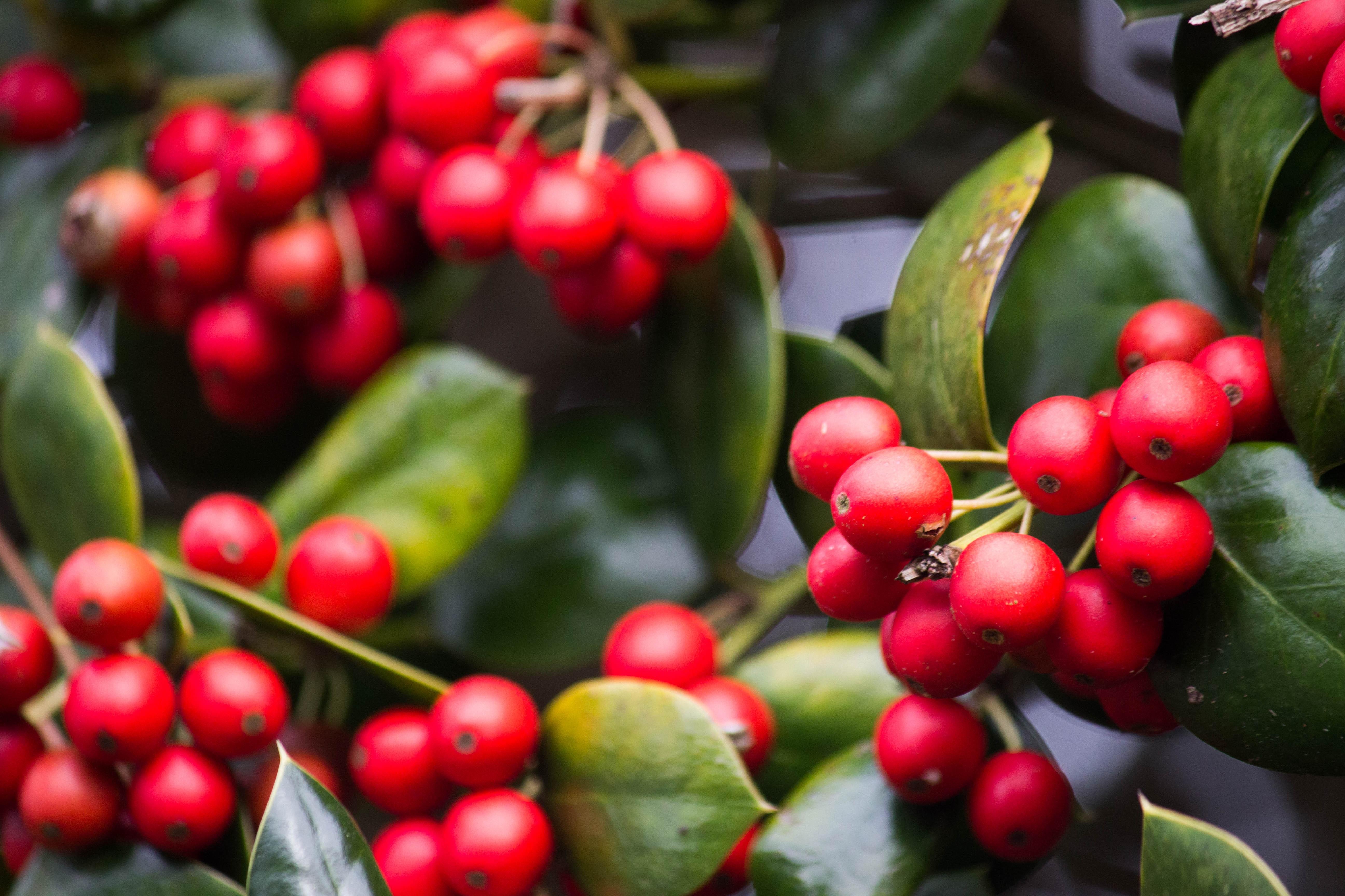 Fotos gratis : árbol, Fruta, baya, flor, decoración, comida, rojo ...