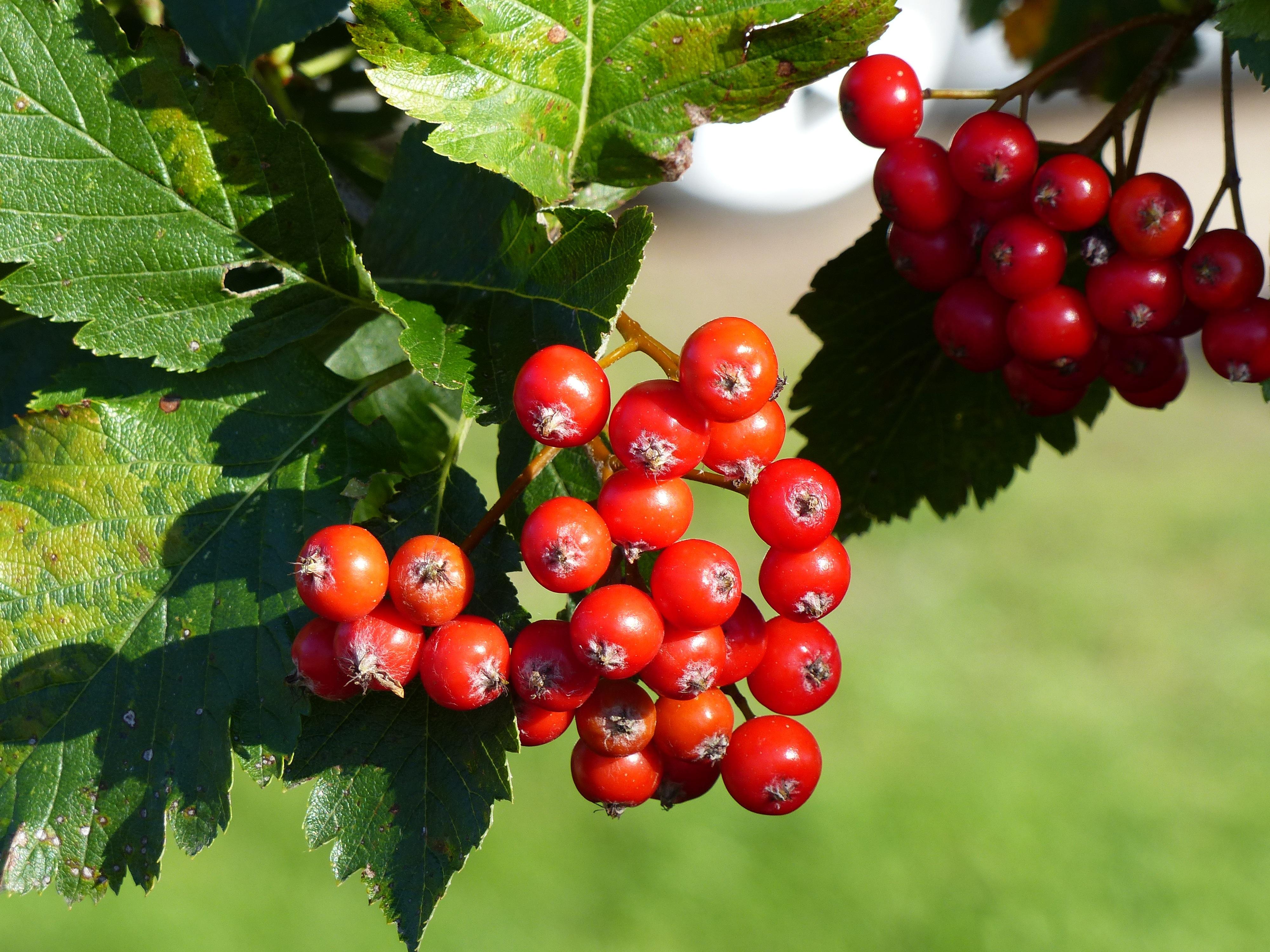 Kostenlose foto : Baum, Frucht, Beere, Blatt, Blume, Lebensmittel ...