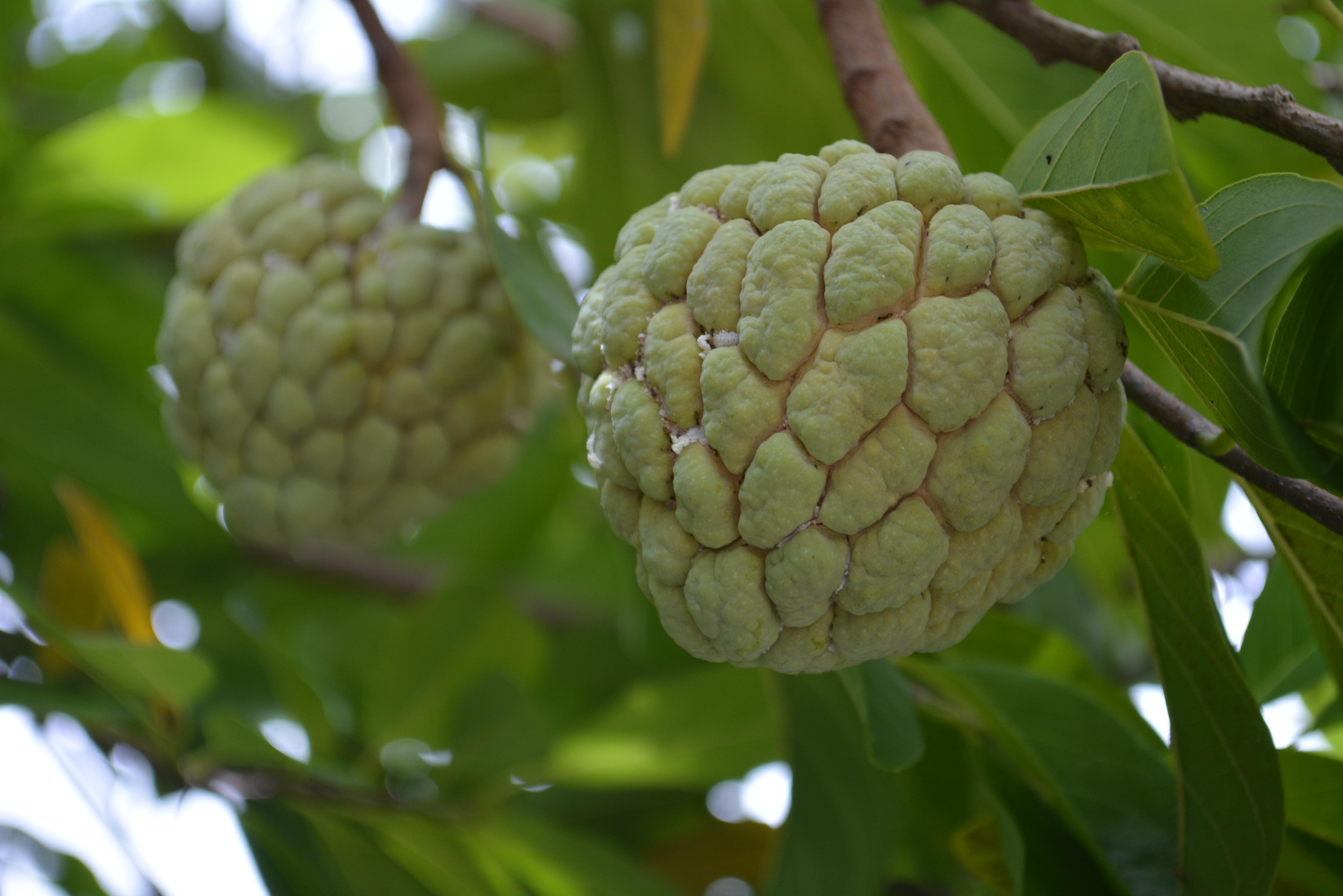 Images gratuites arbre fruit fleur aliments produire for Arbres a feuilles persistantes