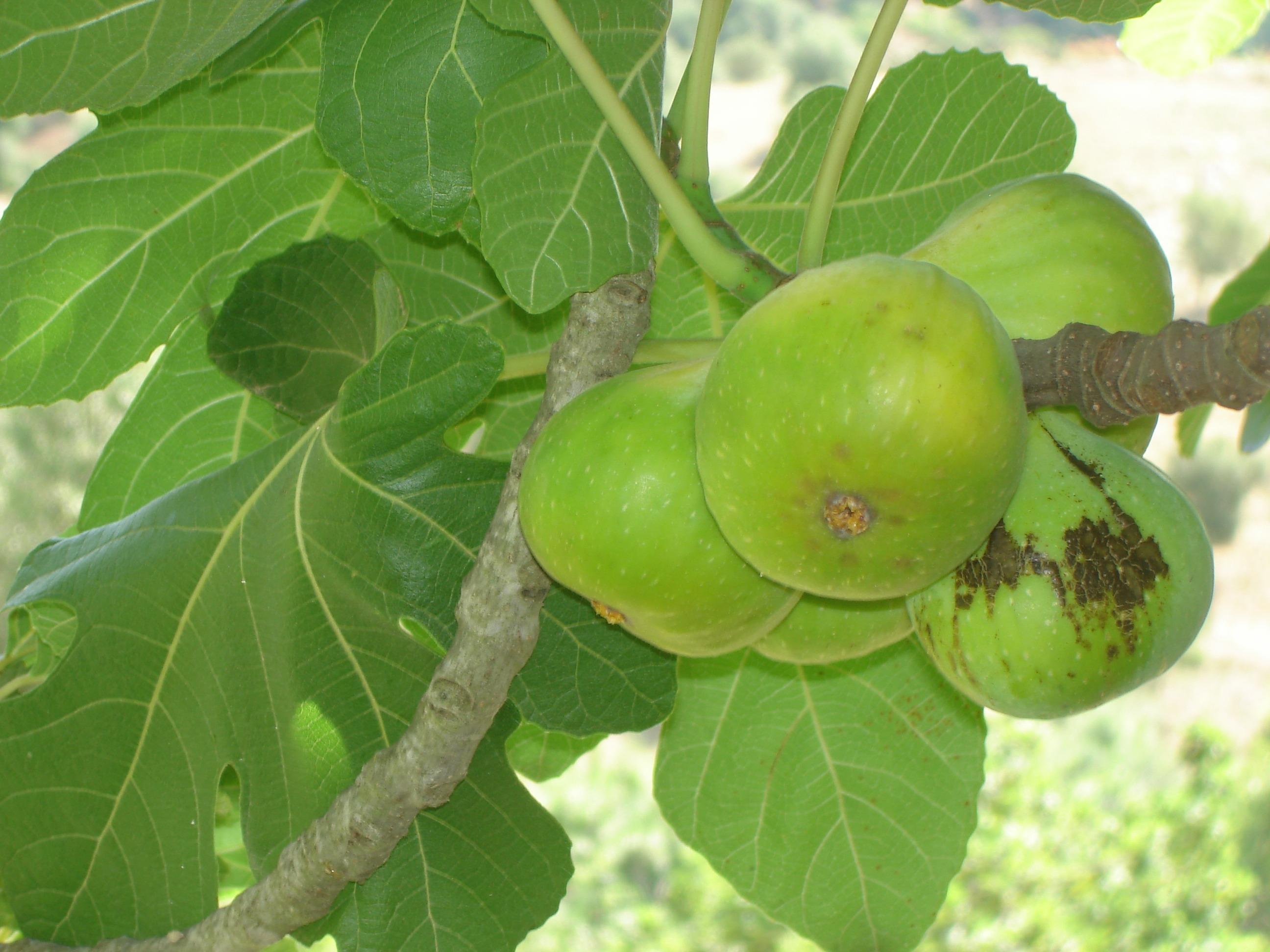 images gratuites : fruit, fleur, aliments, produire, figue, arbuste