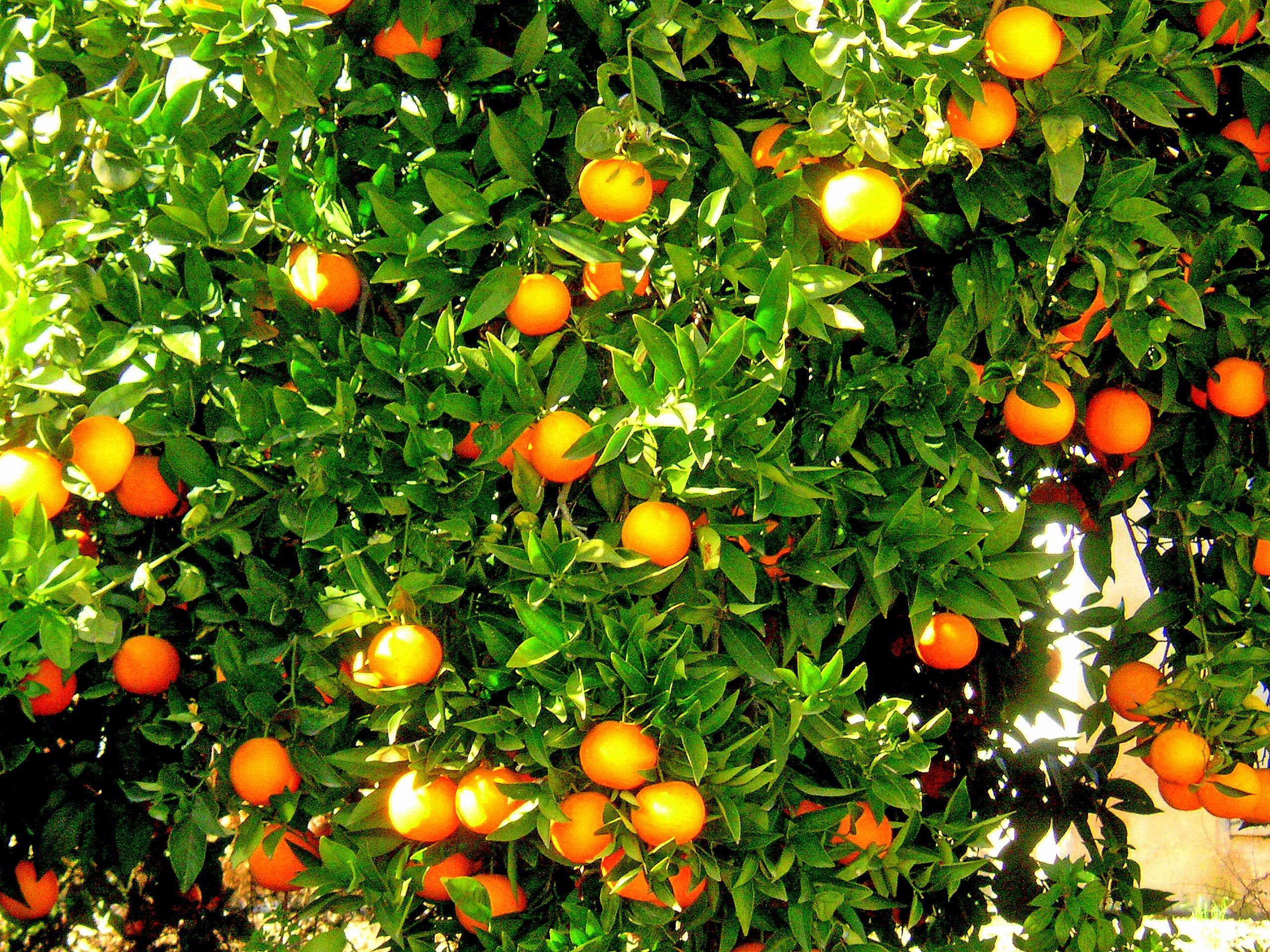 Free images flower orange tree food produce for Plante orange