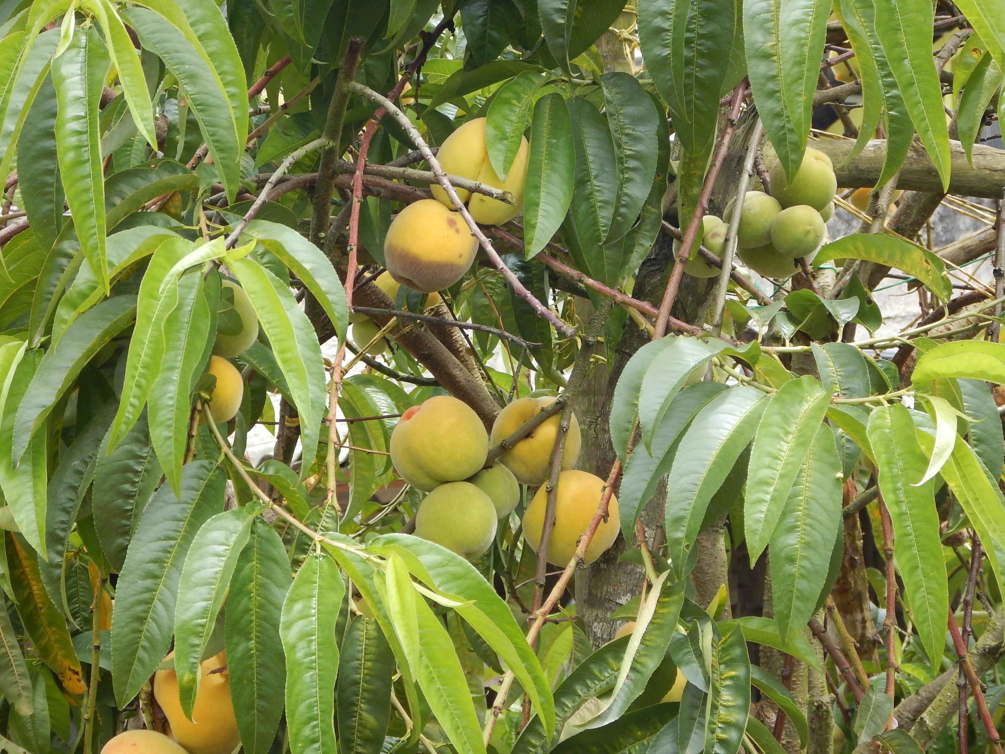 Fotos gratis rbol fruta flor salvaje comida for Arboles frutales de hoja caduca