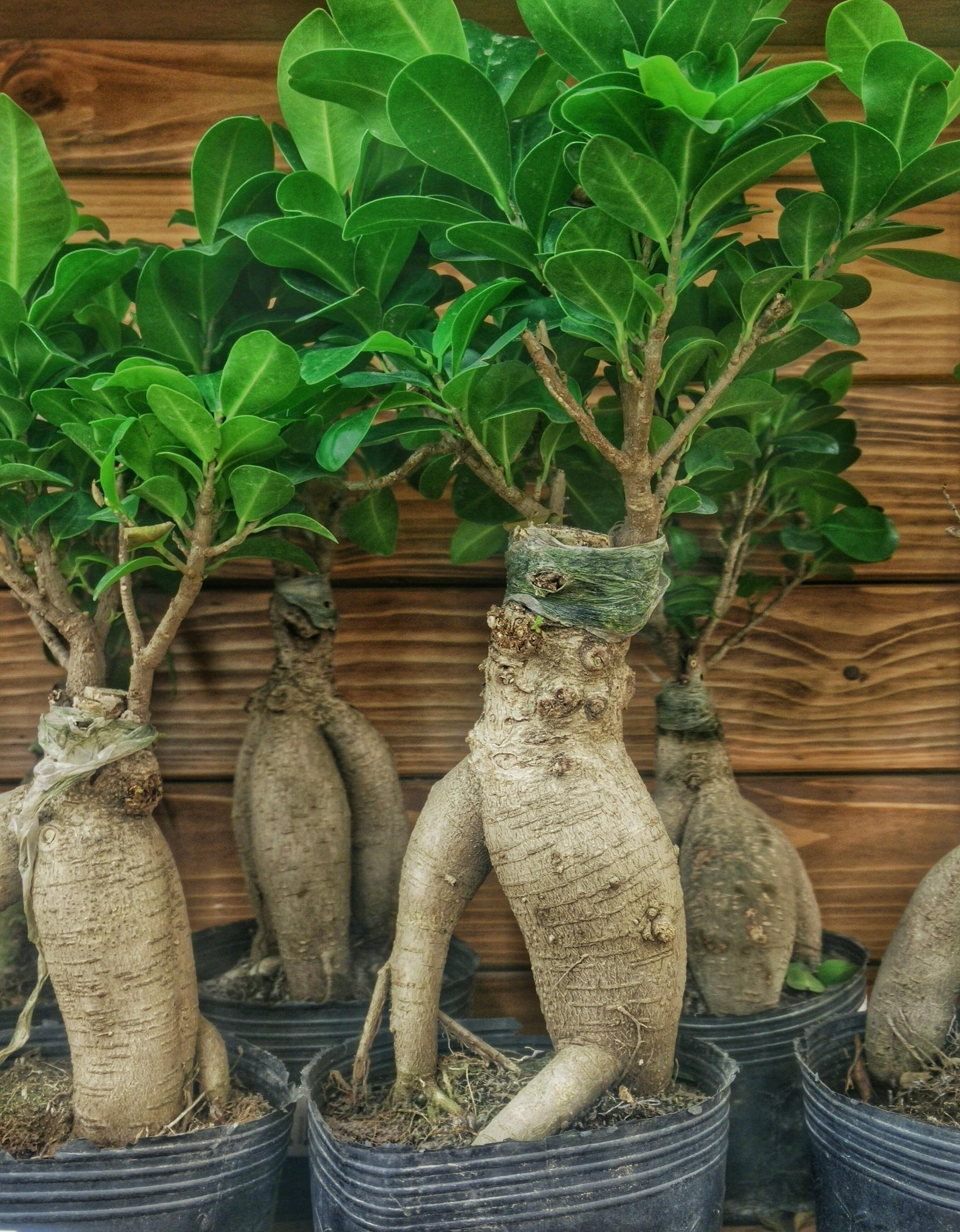 Kostenlose foto baum frucht lebensmittel produzieren - Bonsai zimmerpflanze ...