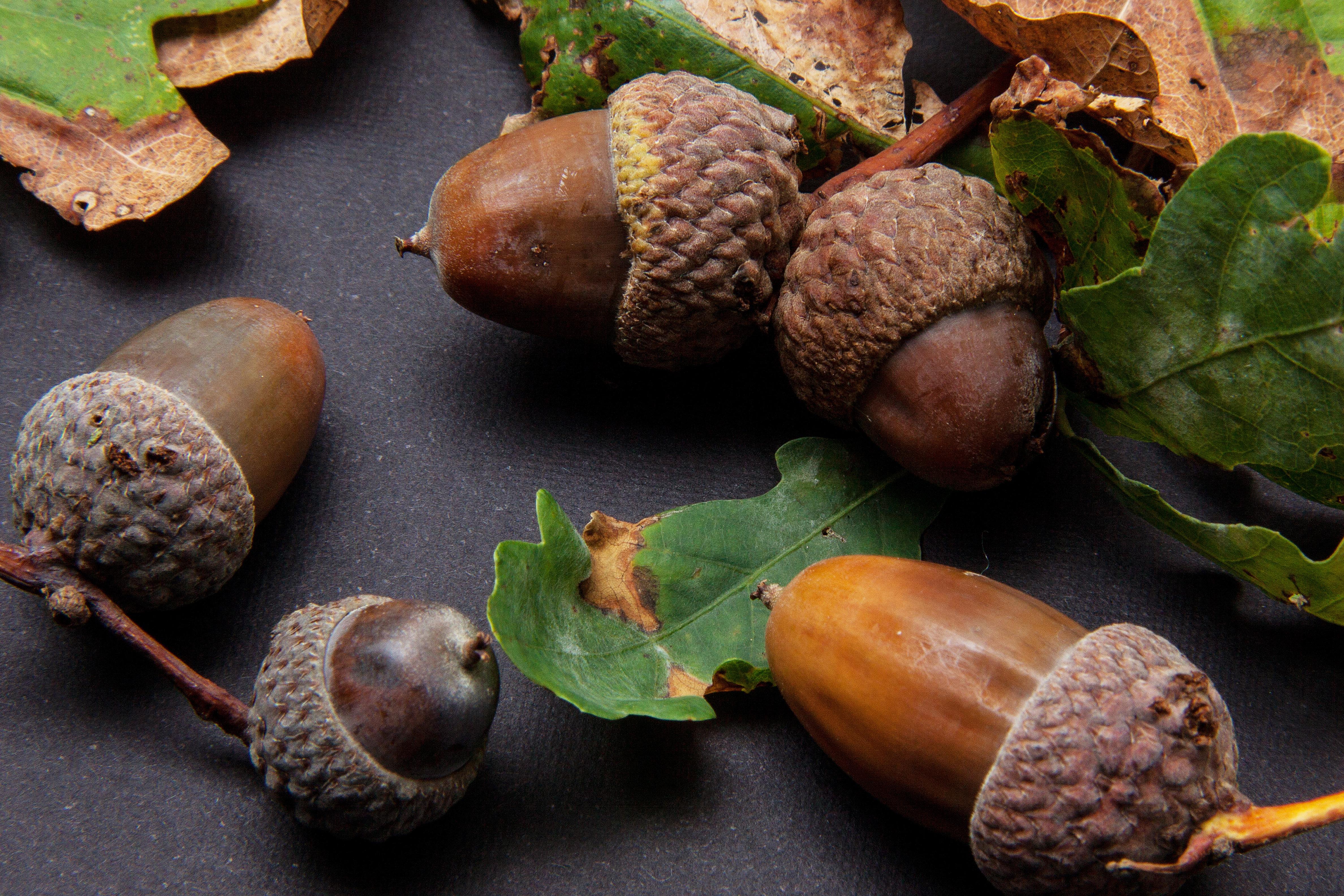 cây thực vật trái cây món ăn Sản xuất rau hạt Acorn Cây sồi Oak fruit
