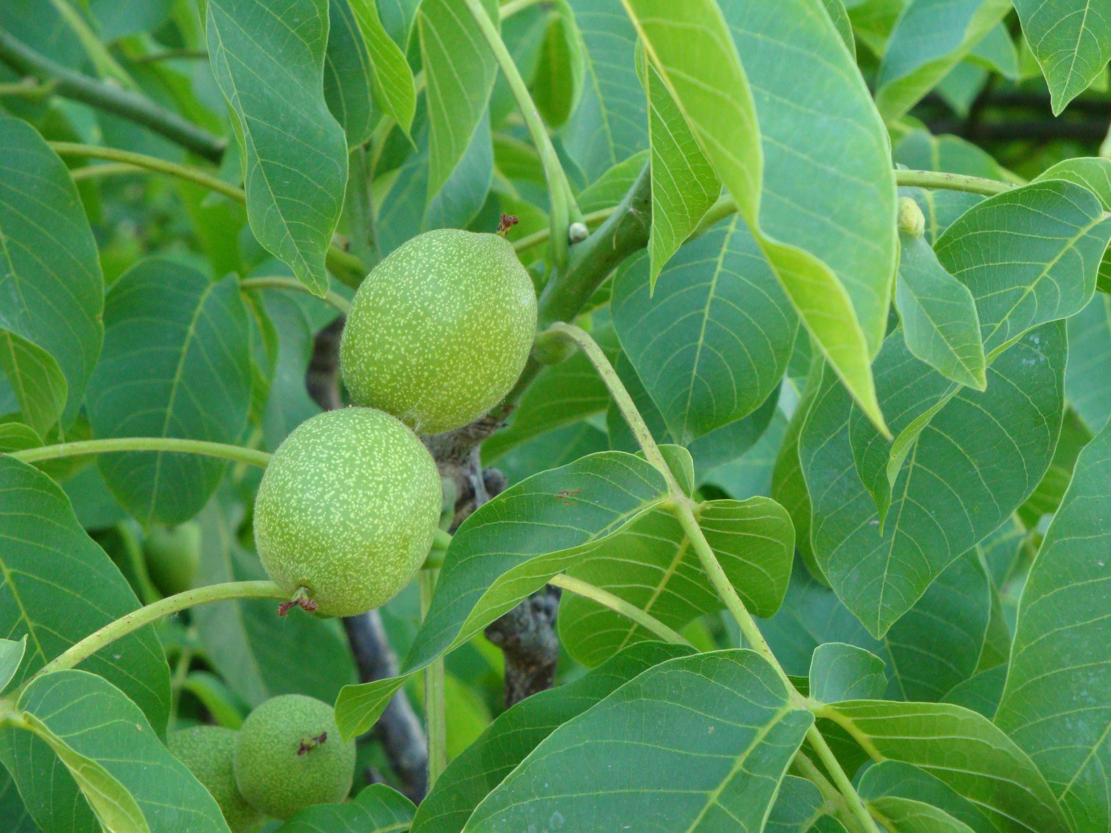 Орех растение картинки