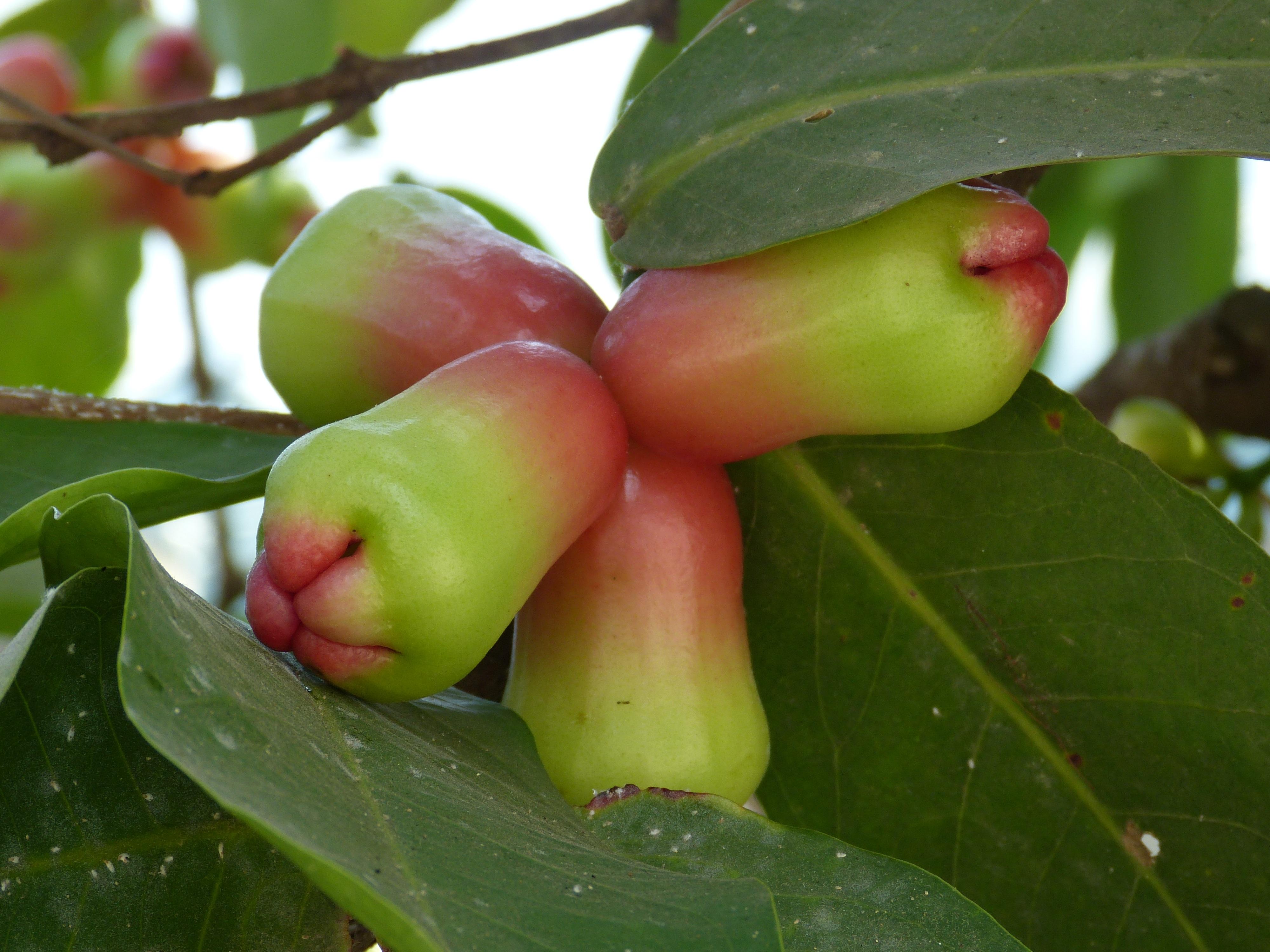 images gratuites arbre fruit feuille fleur aliments vert produire tropical asie. Black Bedroom Furniture Sets. Home Design Ideas
