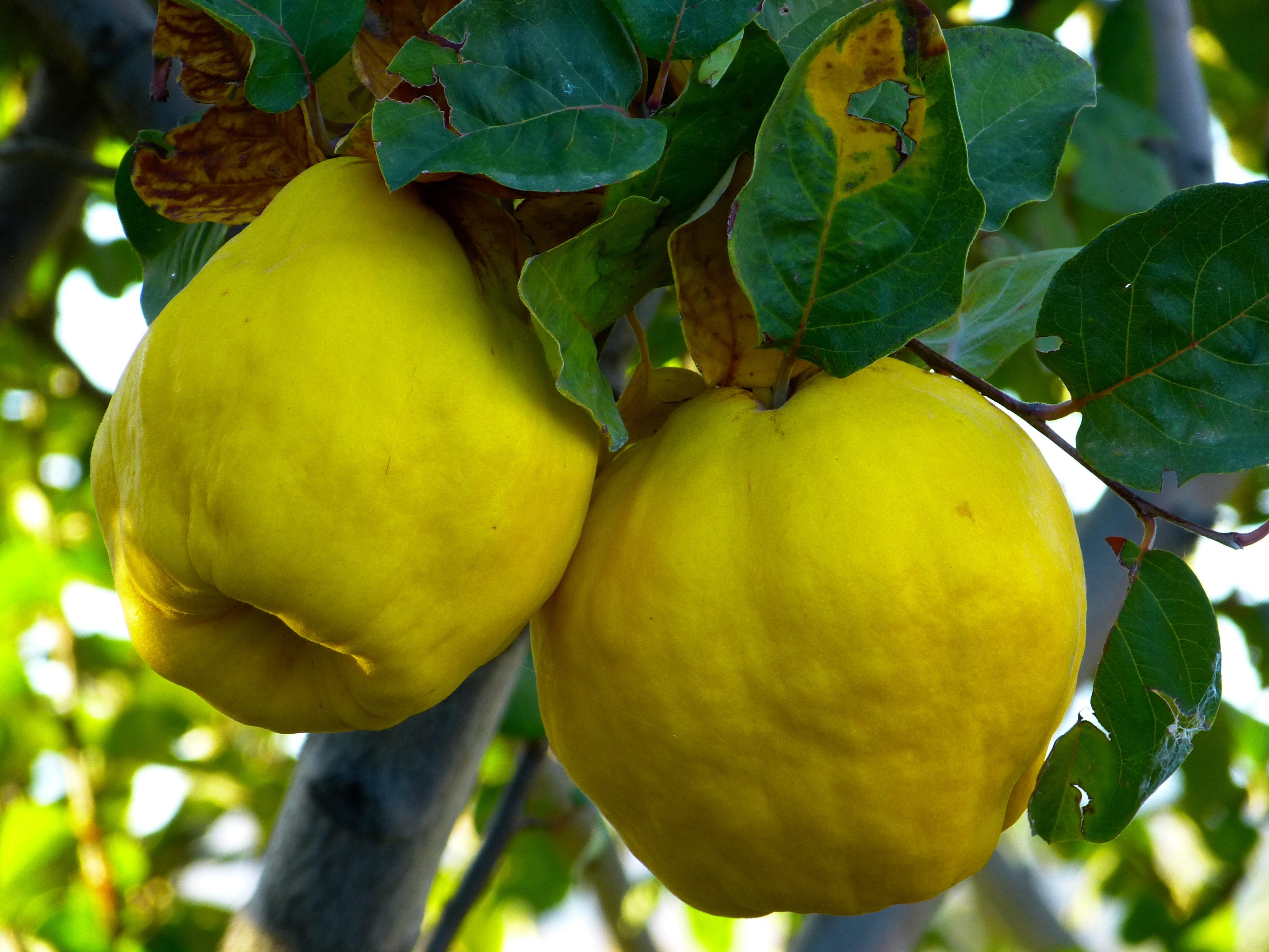 images gratuites fruit feuille aliments duveteux produire jaune arbre fruitier poilu. Black Bedroom Furniture Sets. Home Design Ideas