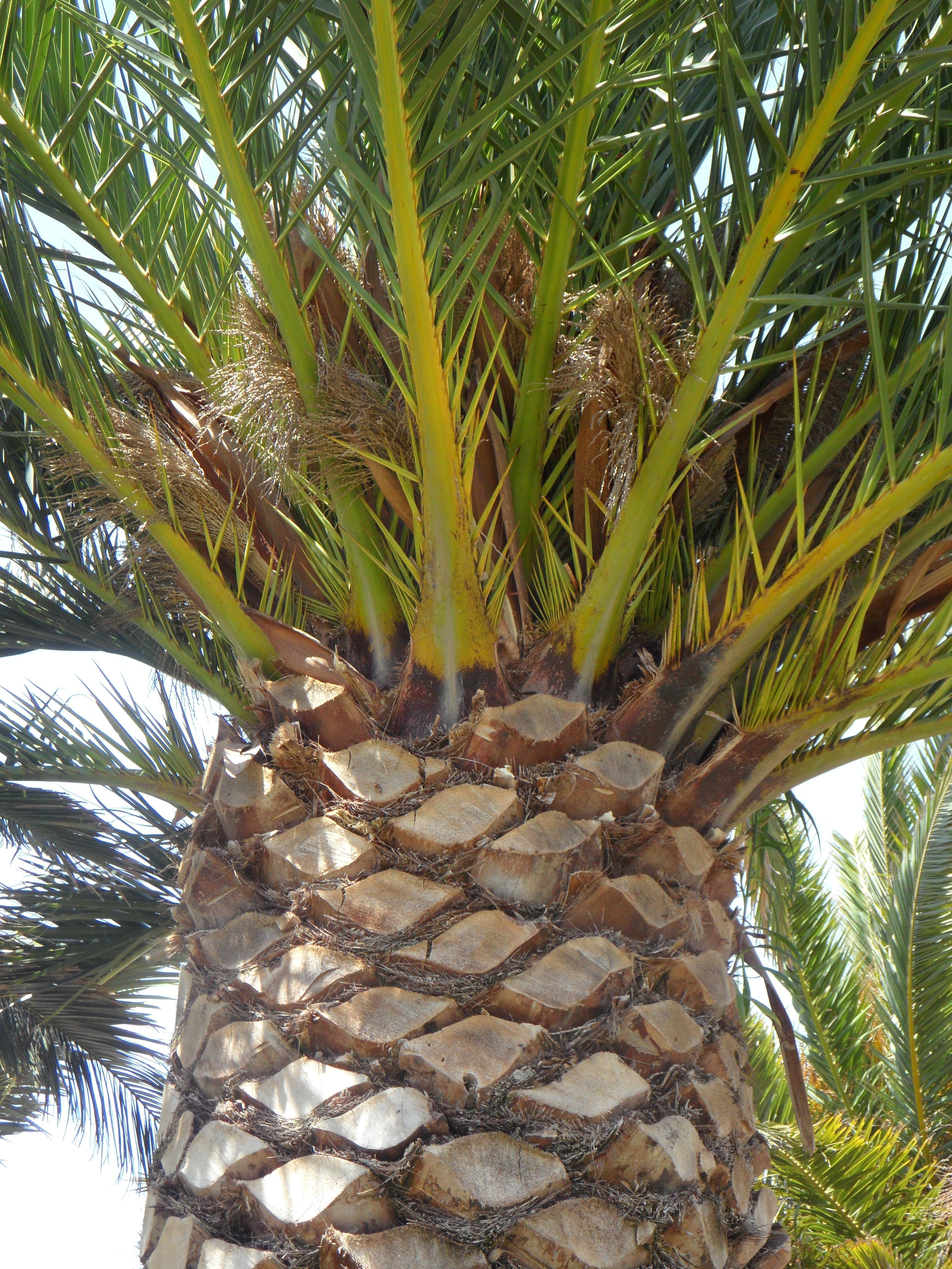Fotos gratis rbol fruta iniciar sesi n comida palma - Arbol de pina ...