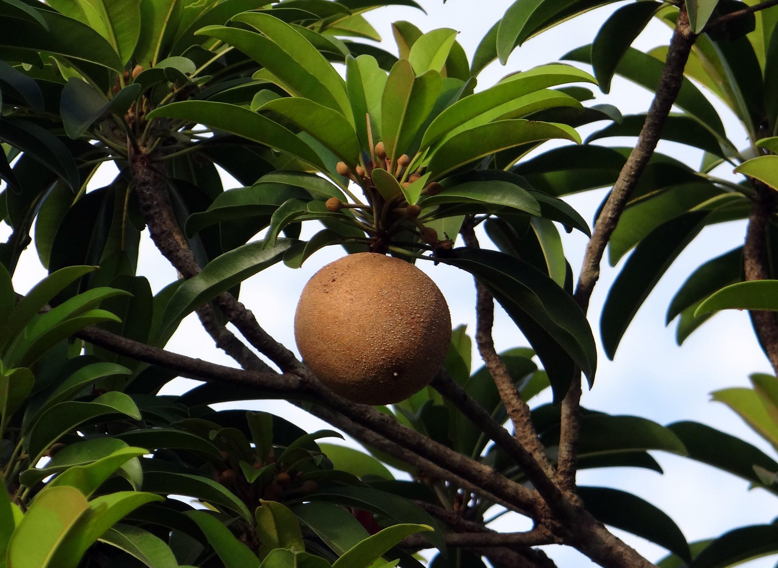 plante exotique noix de coco
