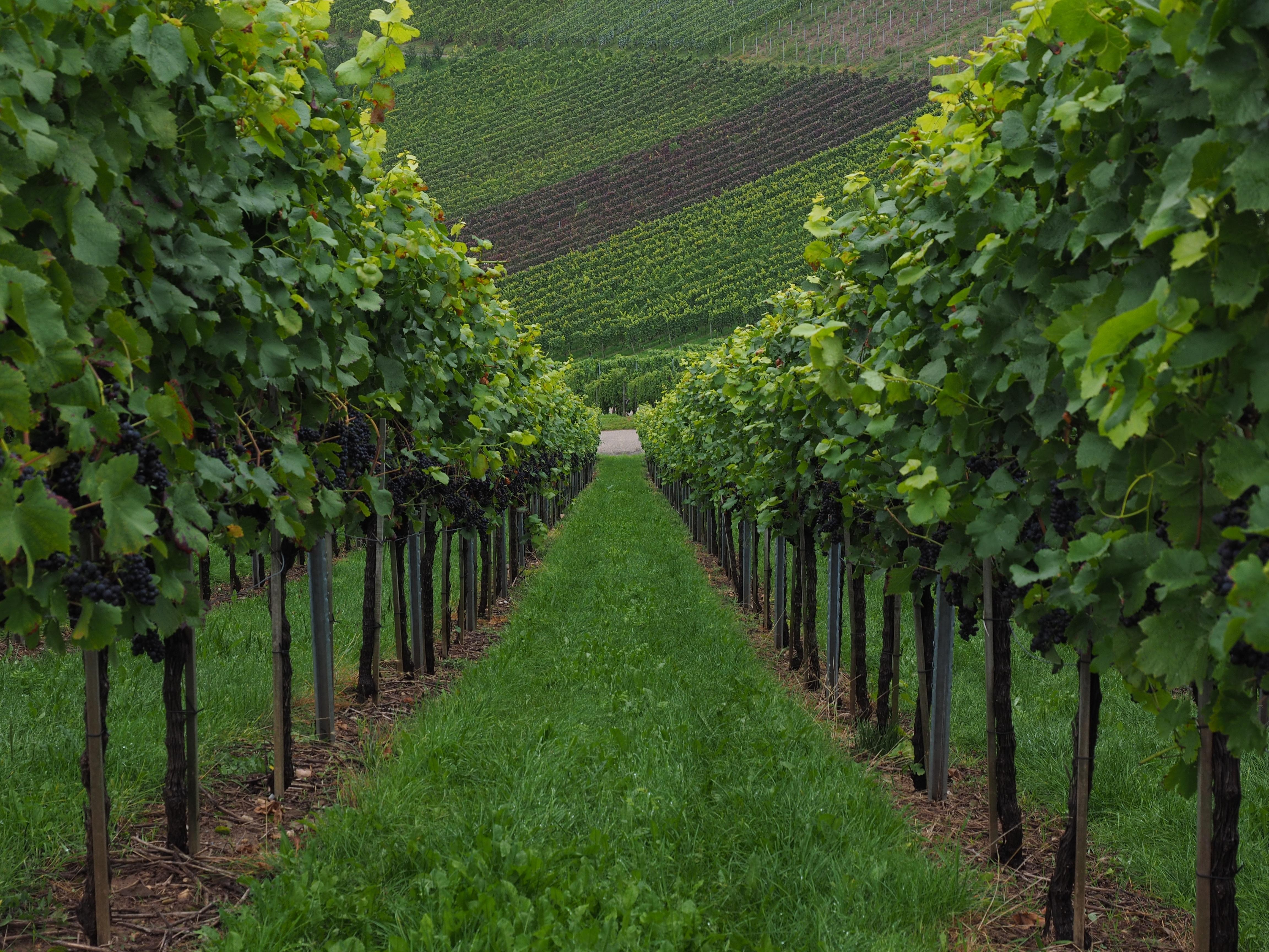 Картинки с виноградными плантациями