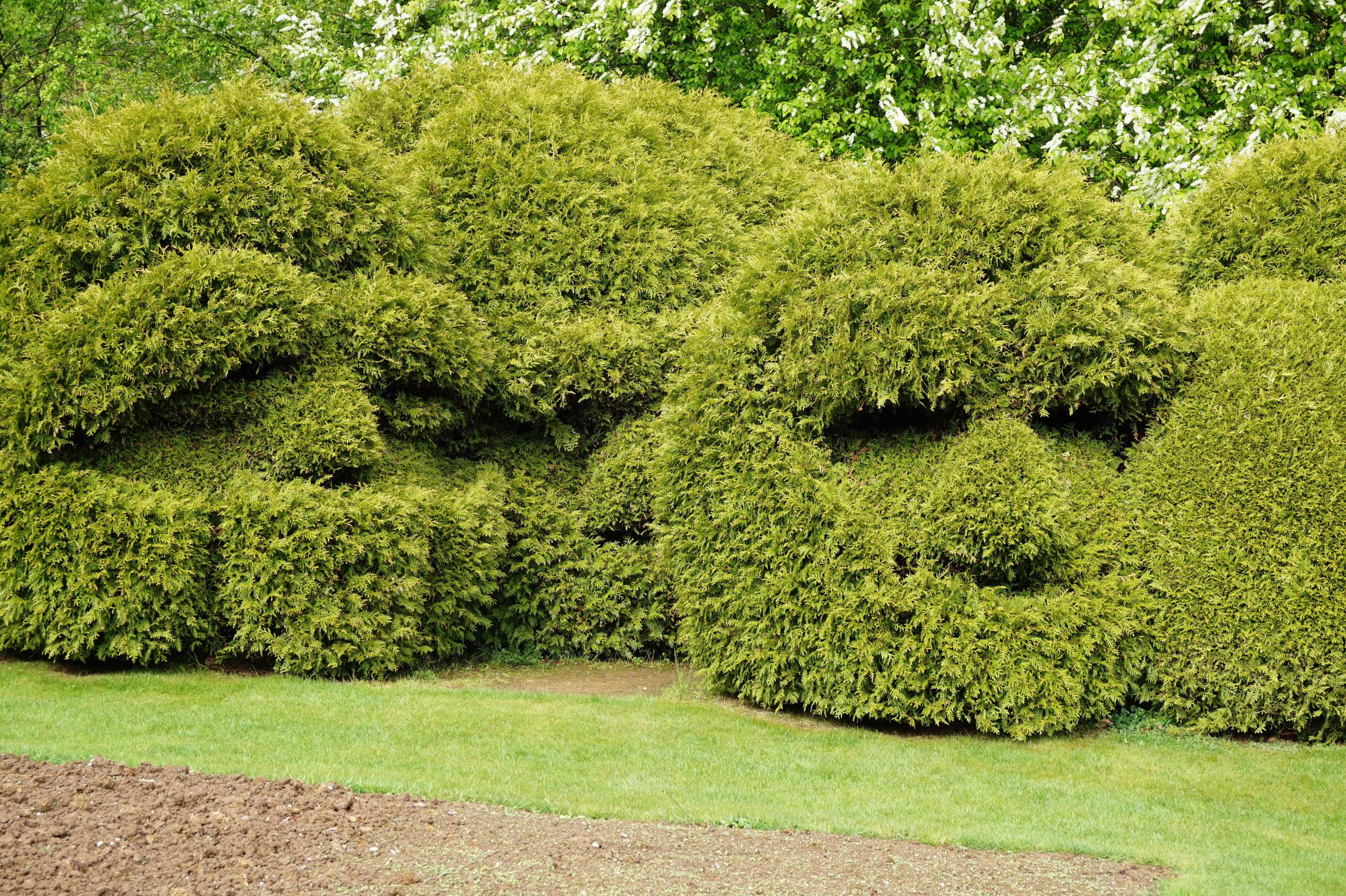 Вечнозеленые садовые растения фото и названия
