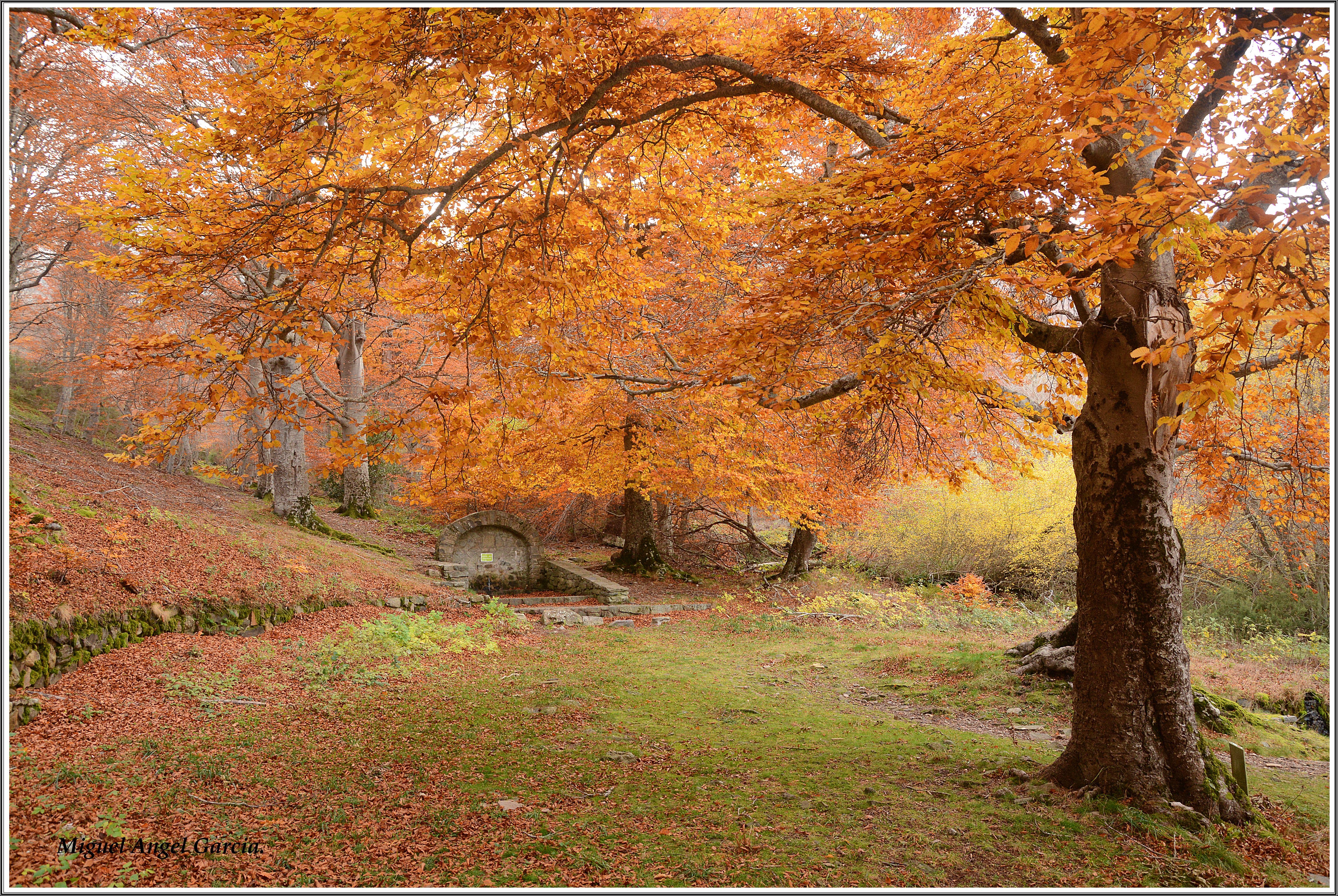 free images   leaf  autumn  season  maple tree  cool image