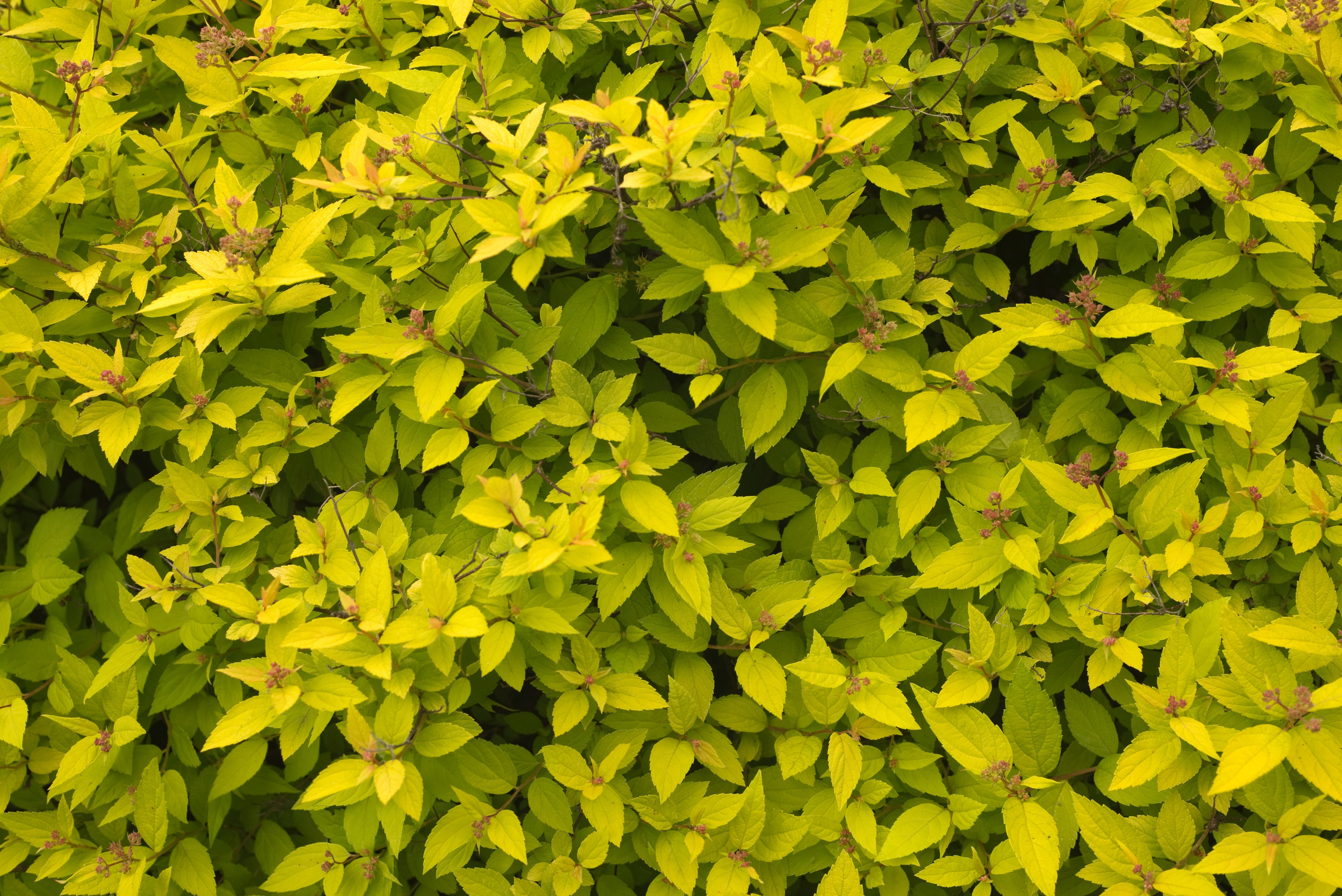 Fotos gratis rbol hoja flor verde produce hojas for Plantas de hojas perennes para jardin