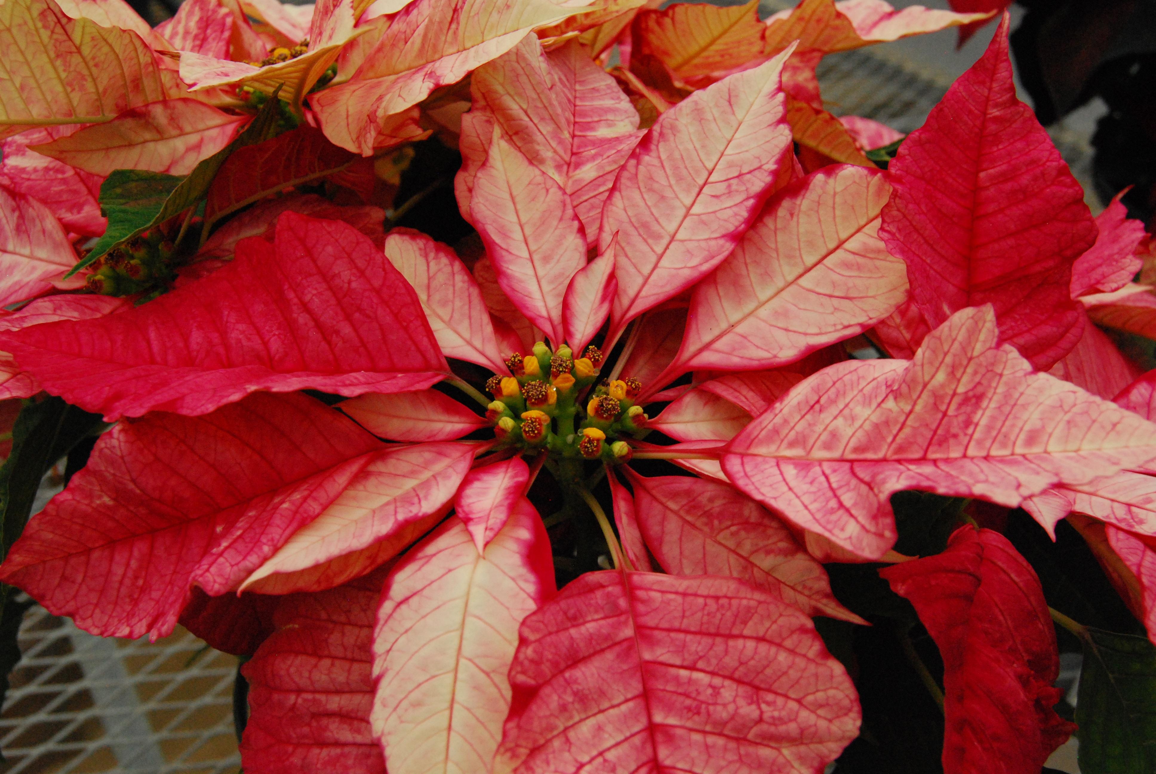 цветы с зелено красными листьями картинки табаков либерти обладают