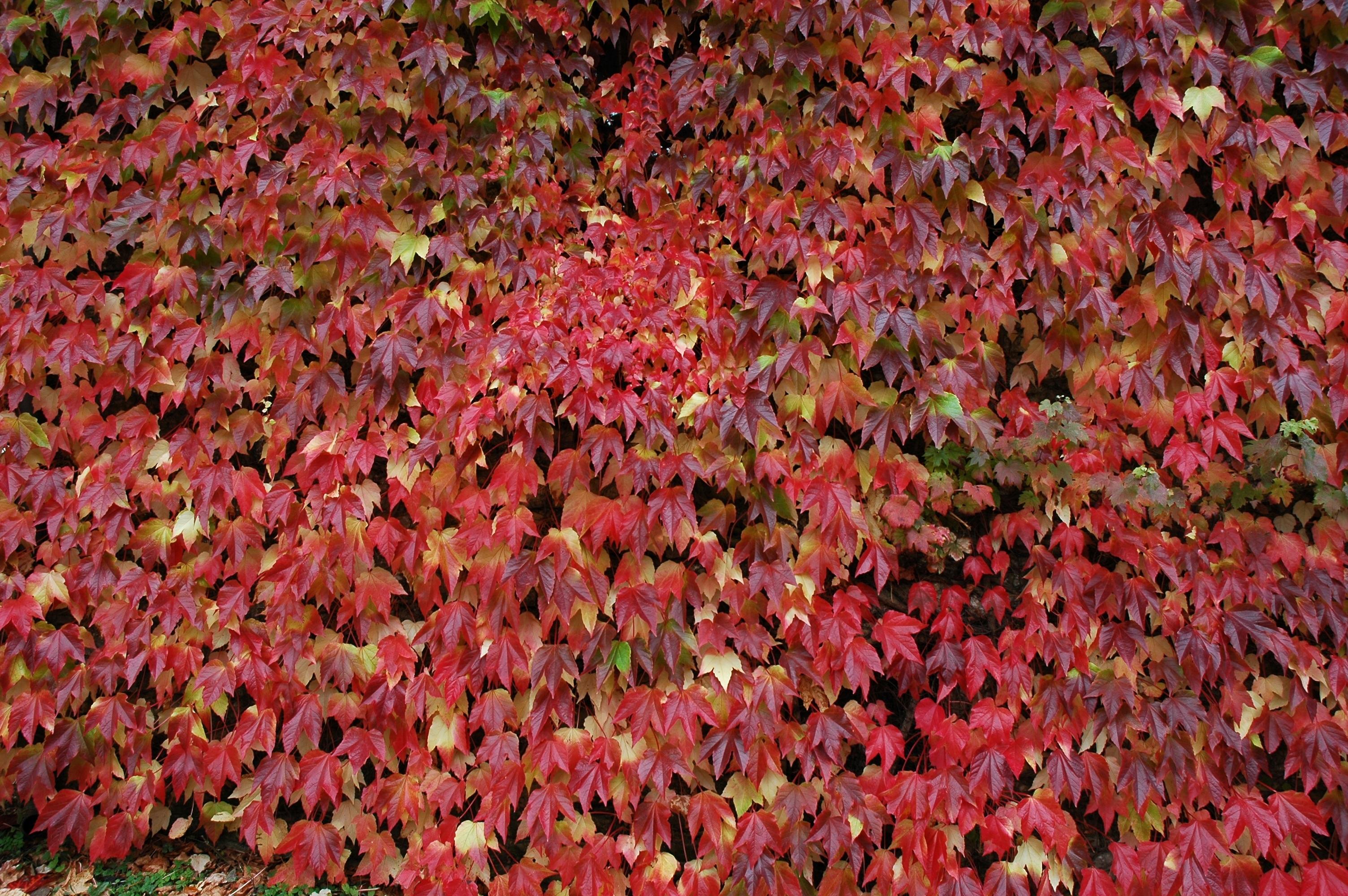 Assez Images Gratuites : arbre, feuille, fleur, pétale, rouge, l'automne  TM11