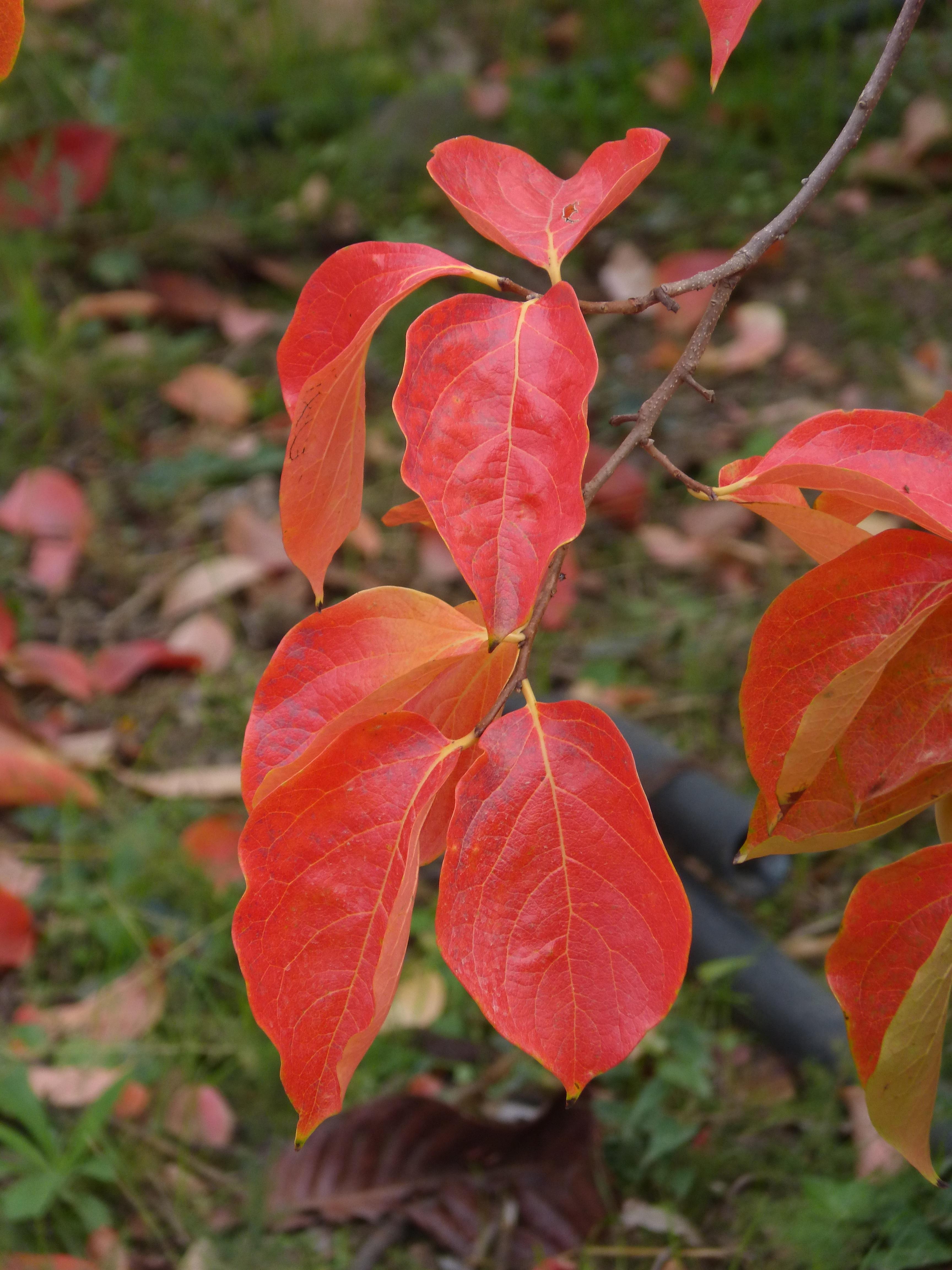 images gratuites : arbre, feuille, fleur, pétale, rouge, l'automne