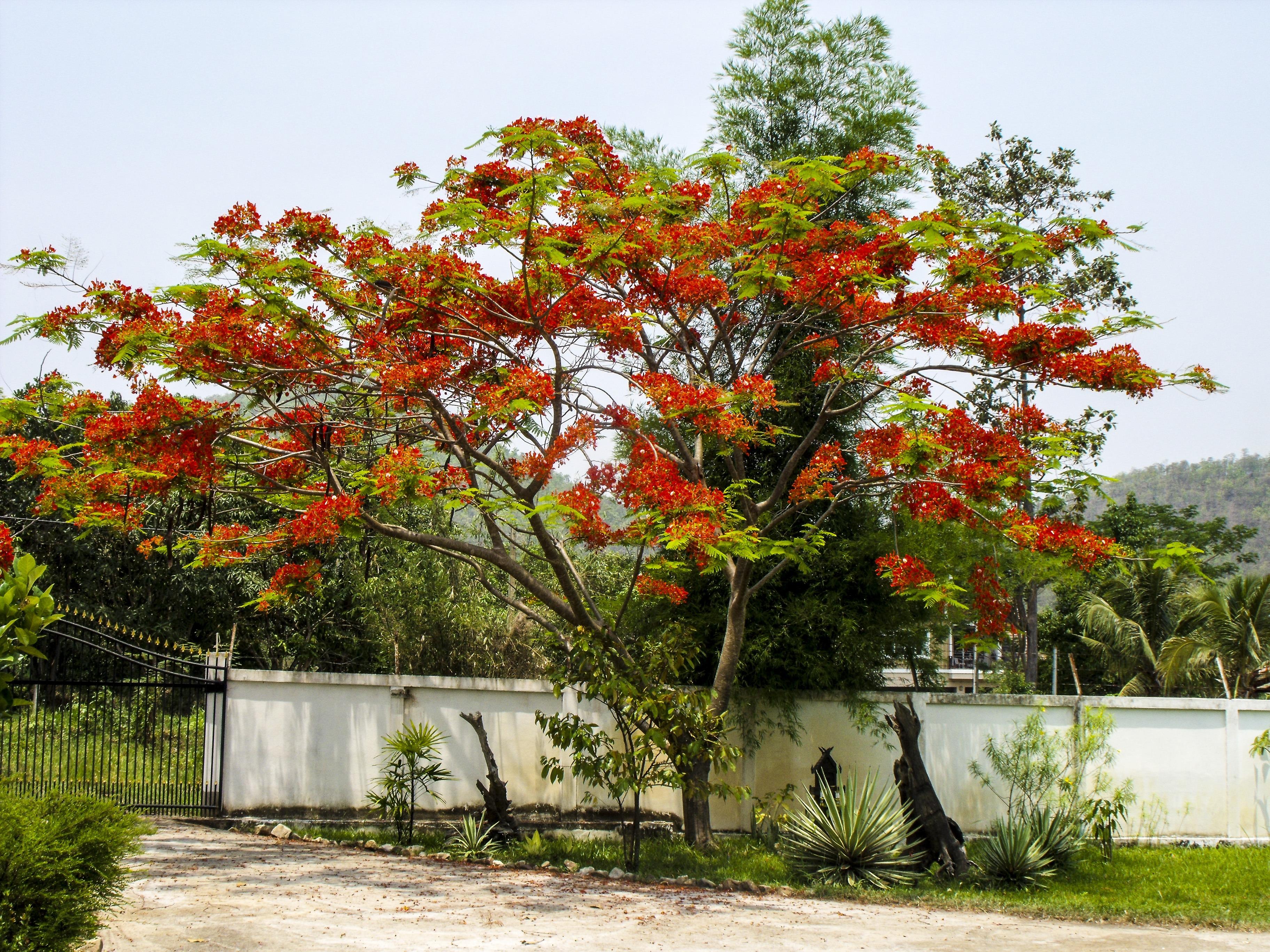 Images gratuites arbre feuille fleur rouge l 39 automne botanique jardin saison rable - Arbres a fleurs rouges ...