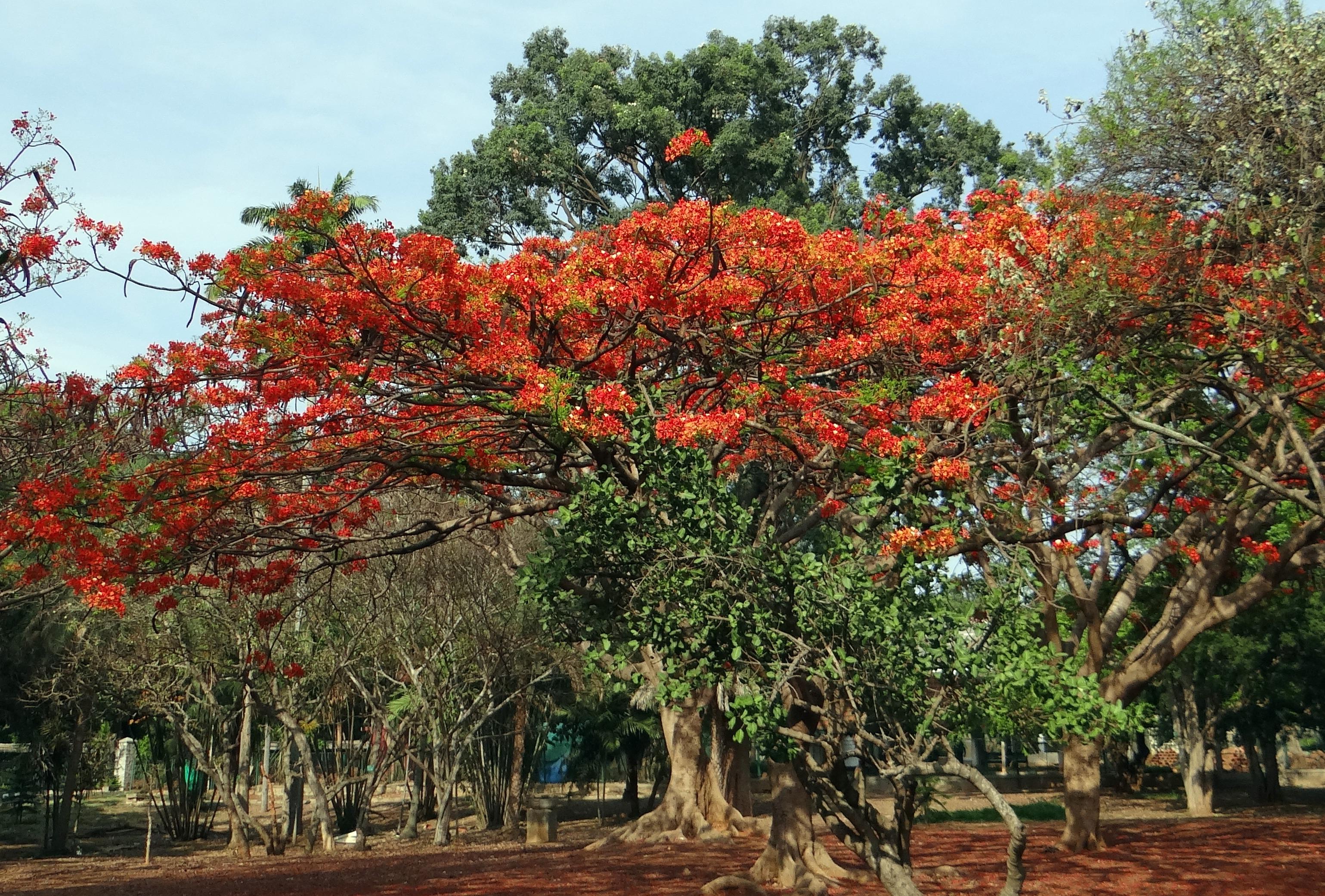 Images gratuites arbre feuille fleur rouge l 39 automne for Plante arbuste