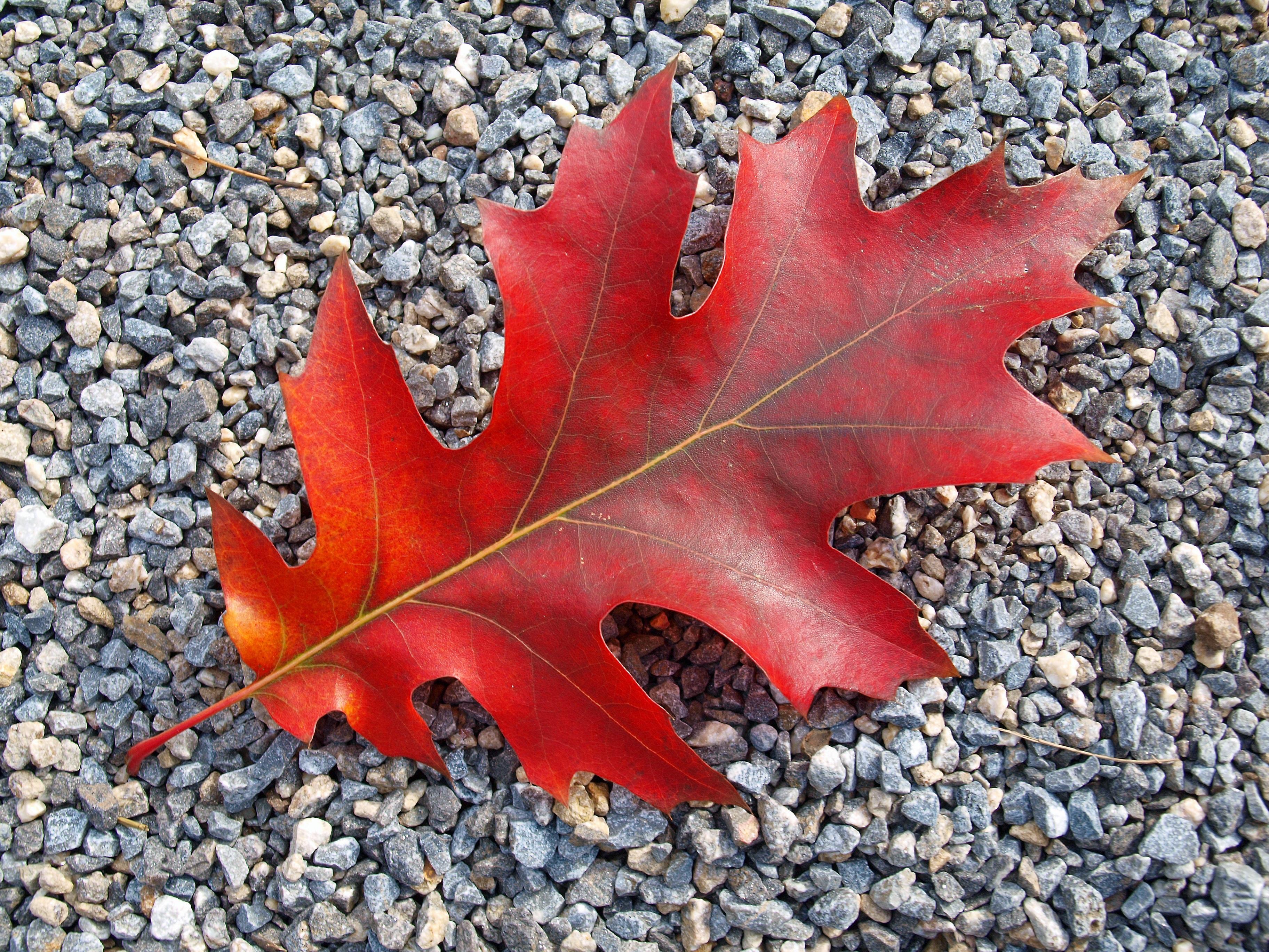images gratuites arbre fleur rouge l 39 automne sol saison rable feuille d 39 rable. Black Bedroom Furniture Sets. Home Design Ideas