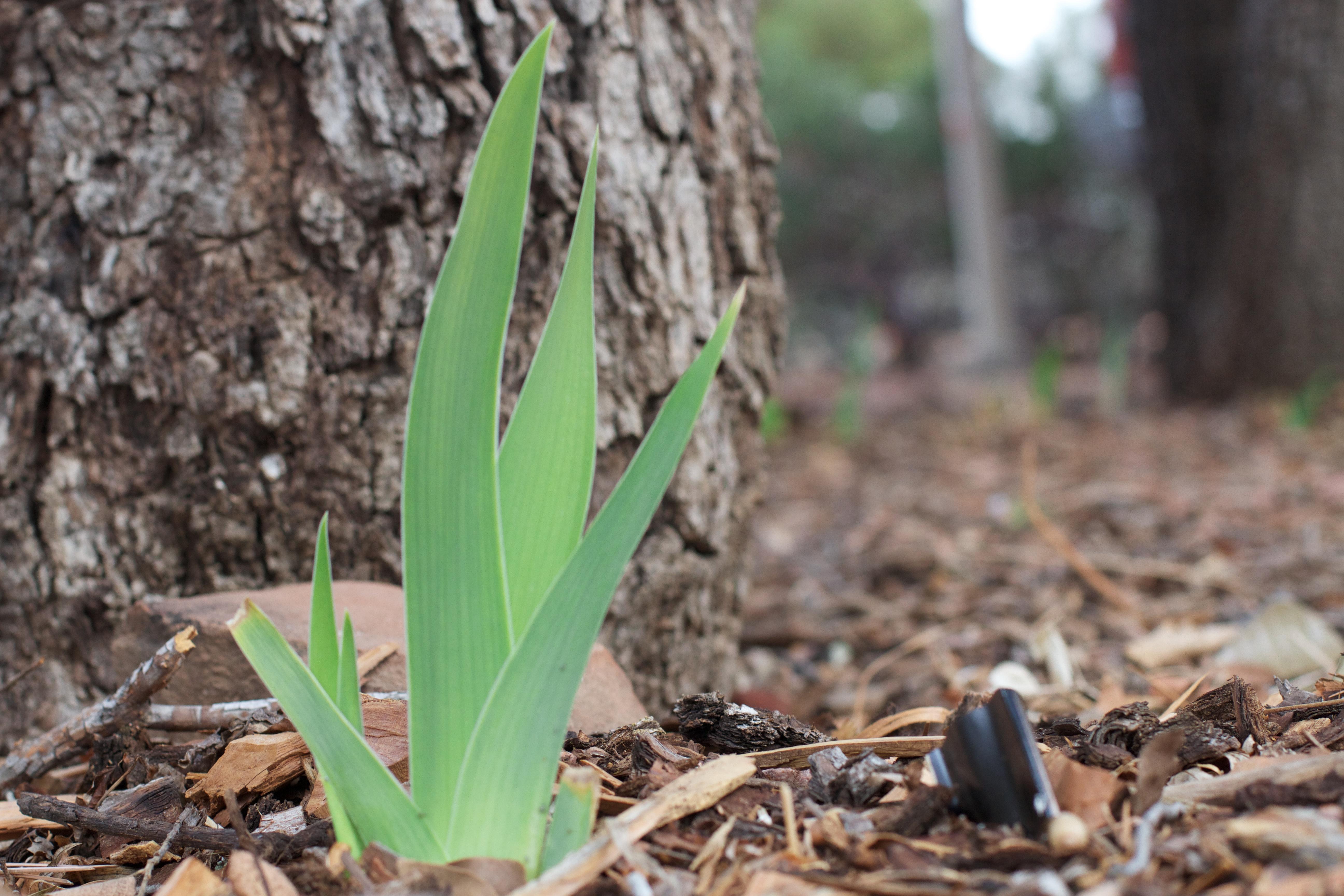 images gratuites arbre feuille fleur printemps produire sol botanique flore iris. Black Bedroom Furniture Sets. Home Design Ideas