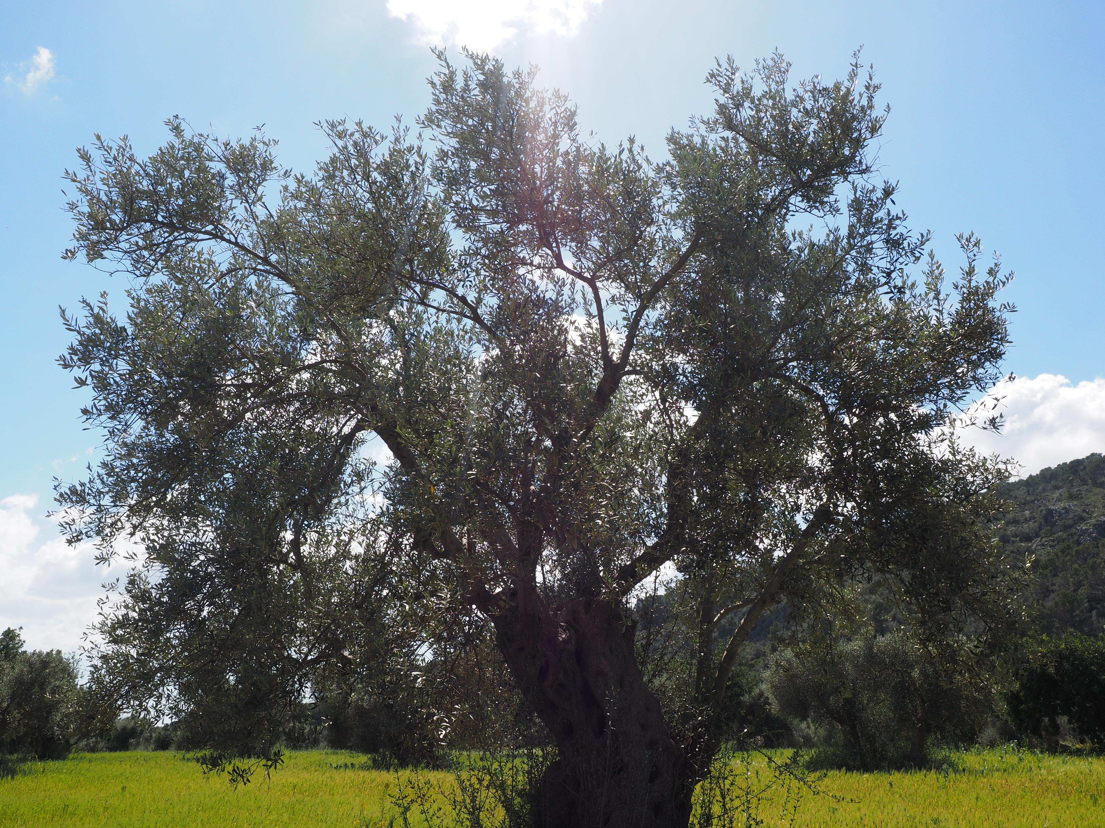 Images gratuites arbre prairie fleur produire for Plante un olivier