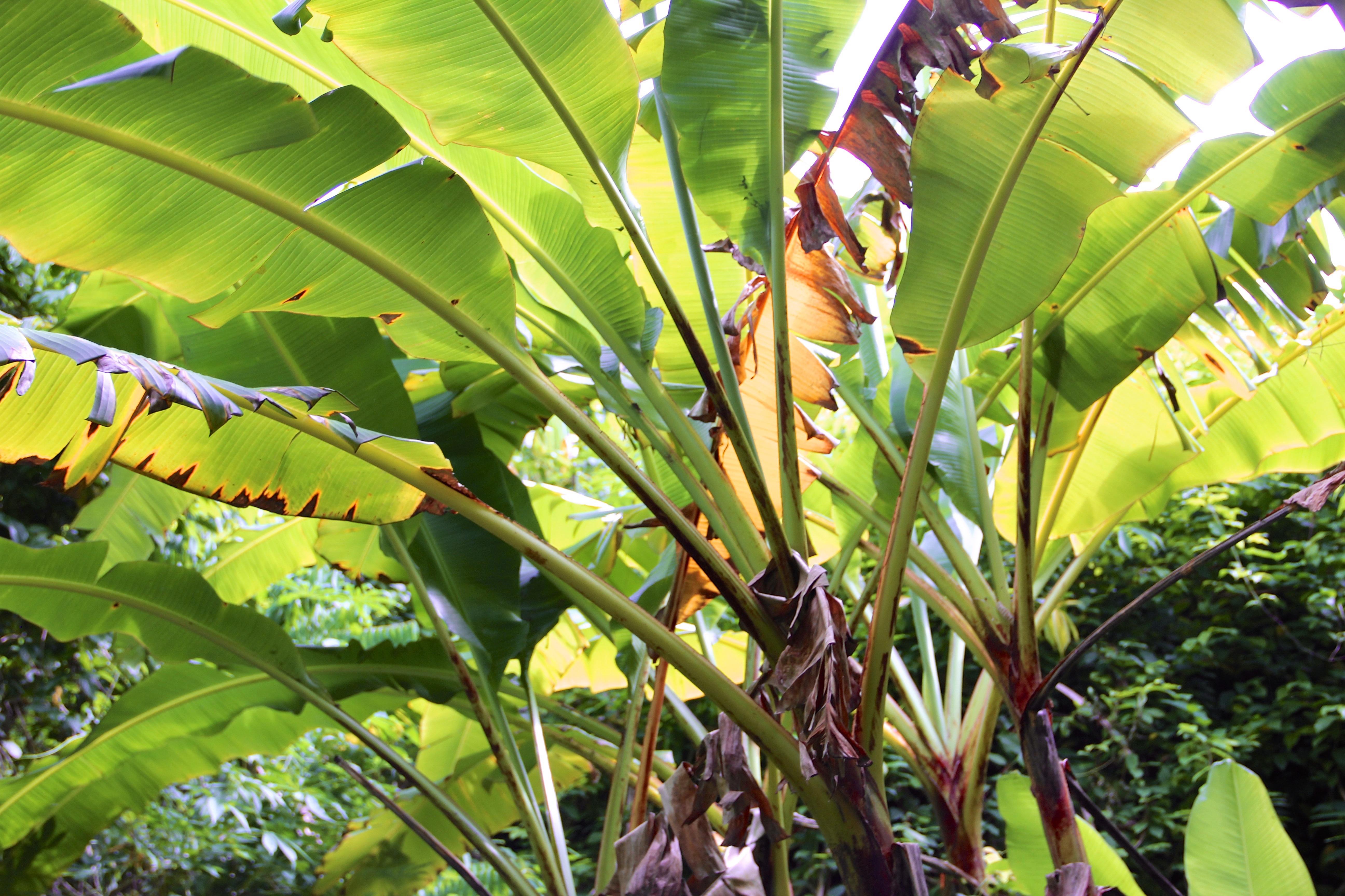 kostenlose foto baum palme blatt blume sommer dschungel produzieren tropisch urlaub. Black Bedroom Furniture Sets. Home Design Ideas
