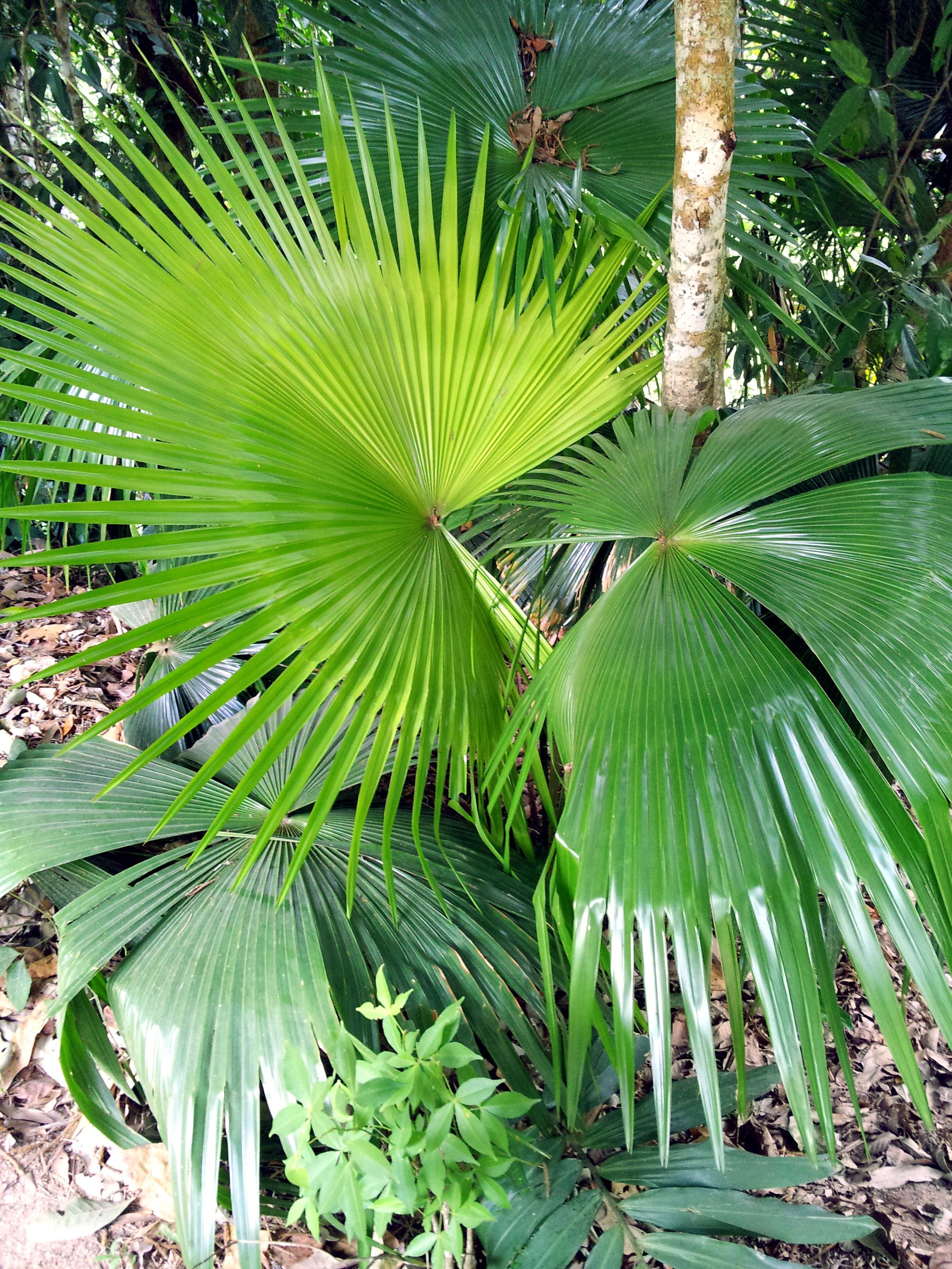 Fotos gratis rbol planta palmera hoja verano verde selva parque flora coco - Plantas de interior tropicales ...