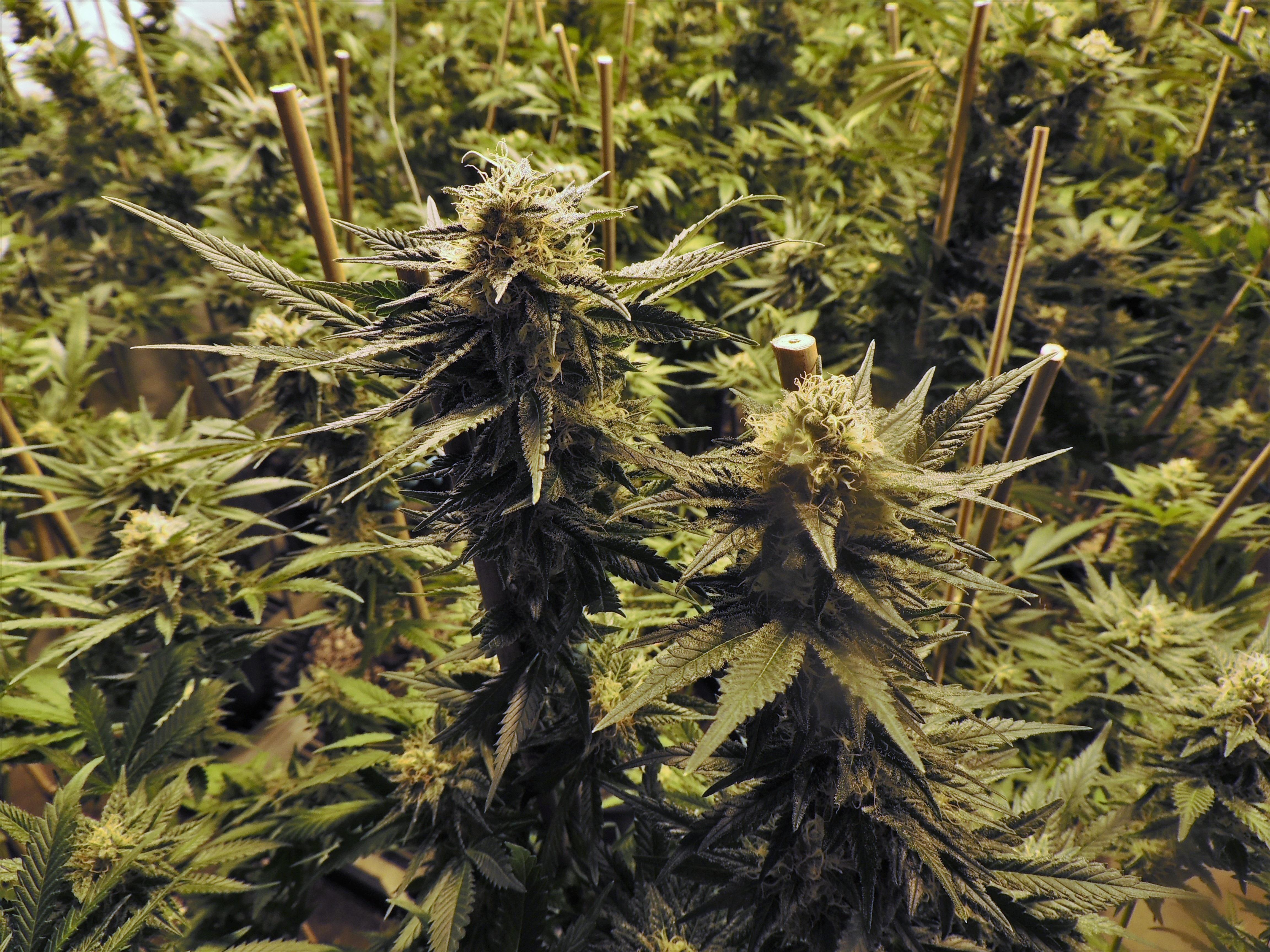 Ботаника марихуаны скачать коноплю картинки