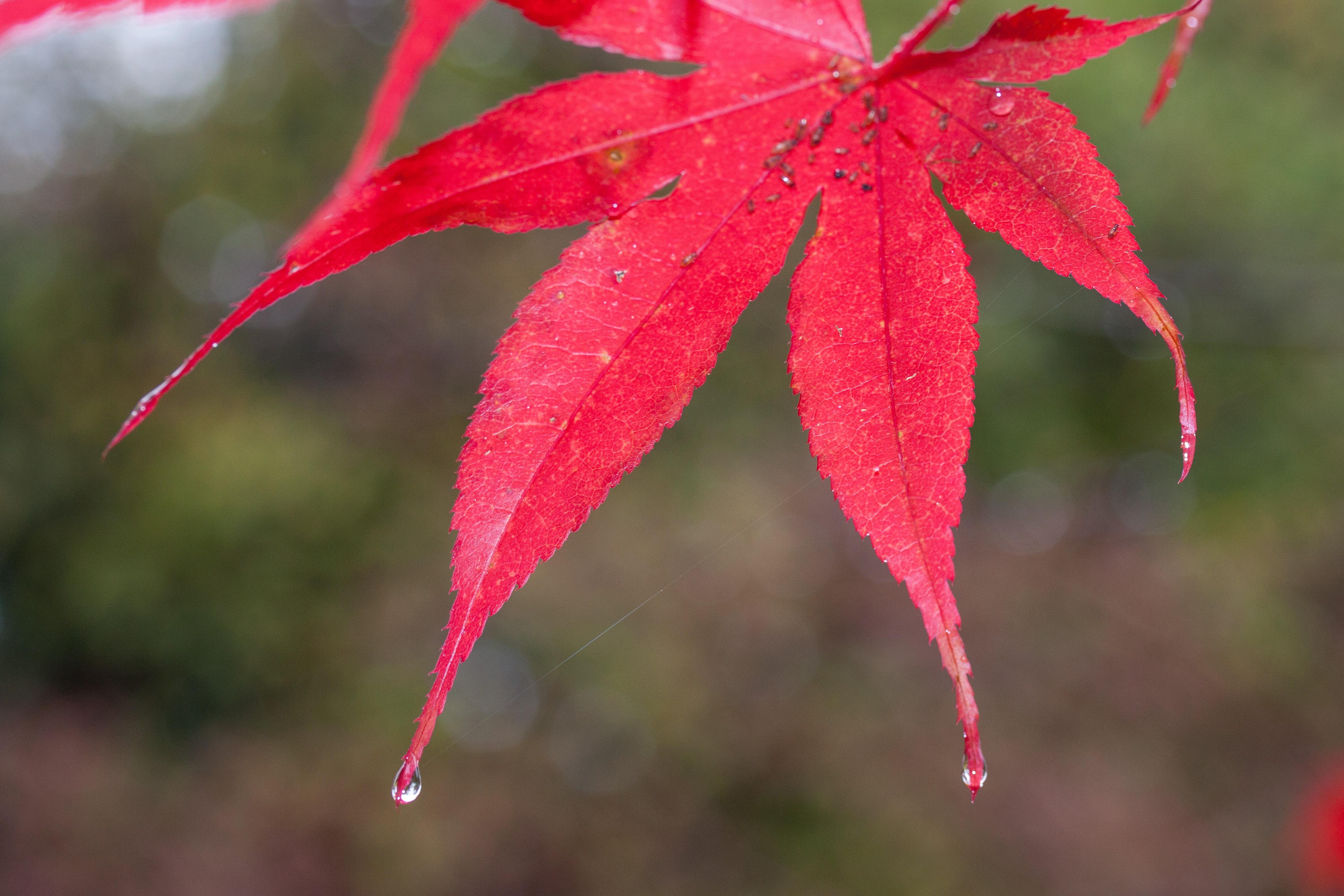 free images rain raindrop red color autumn colorful flora