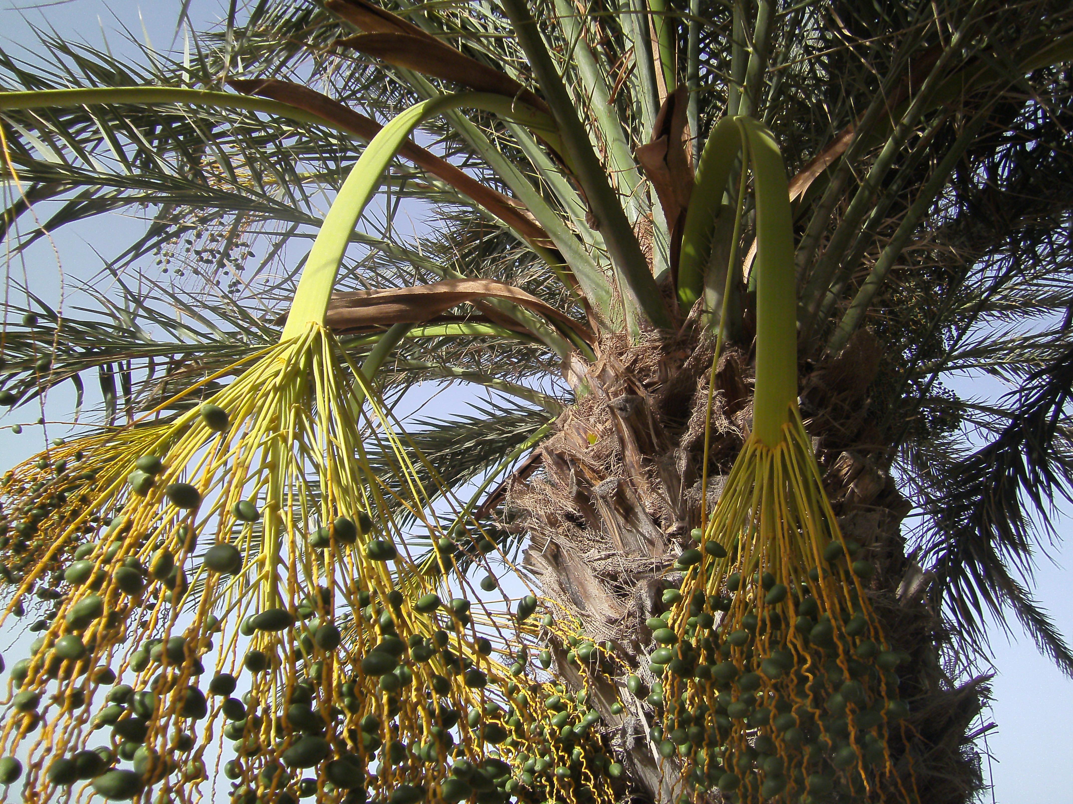 автора деревья туниса фото может