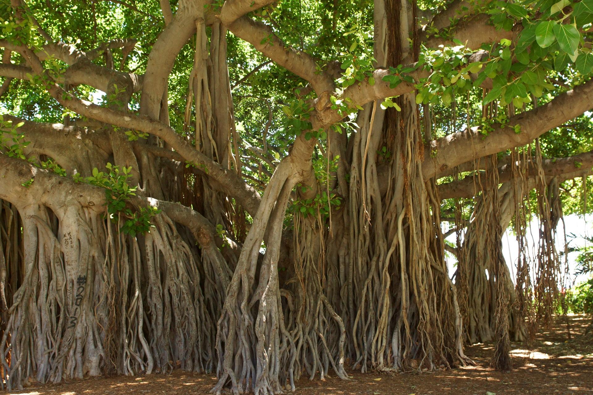 Images gratuites arbre tronc jungle produire sol for Plante jungle