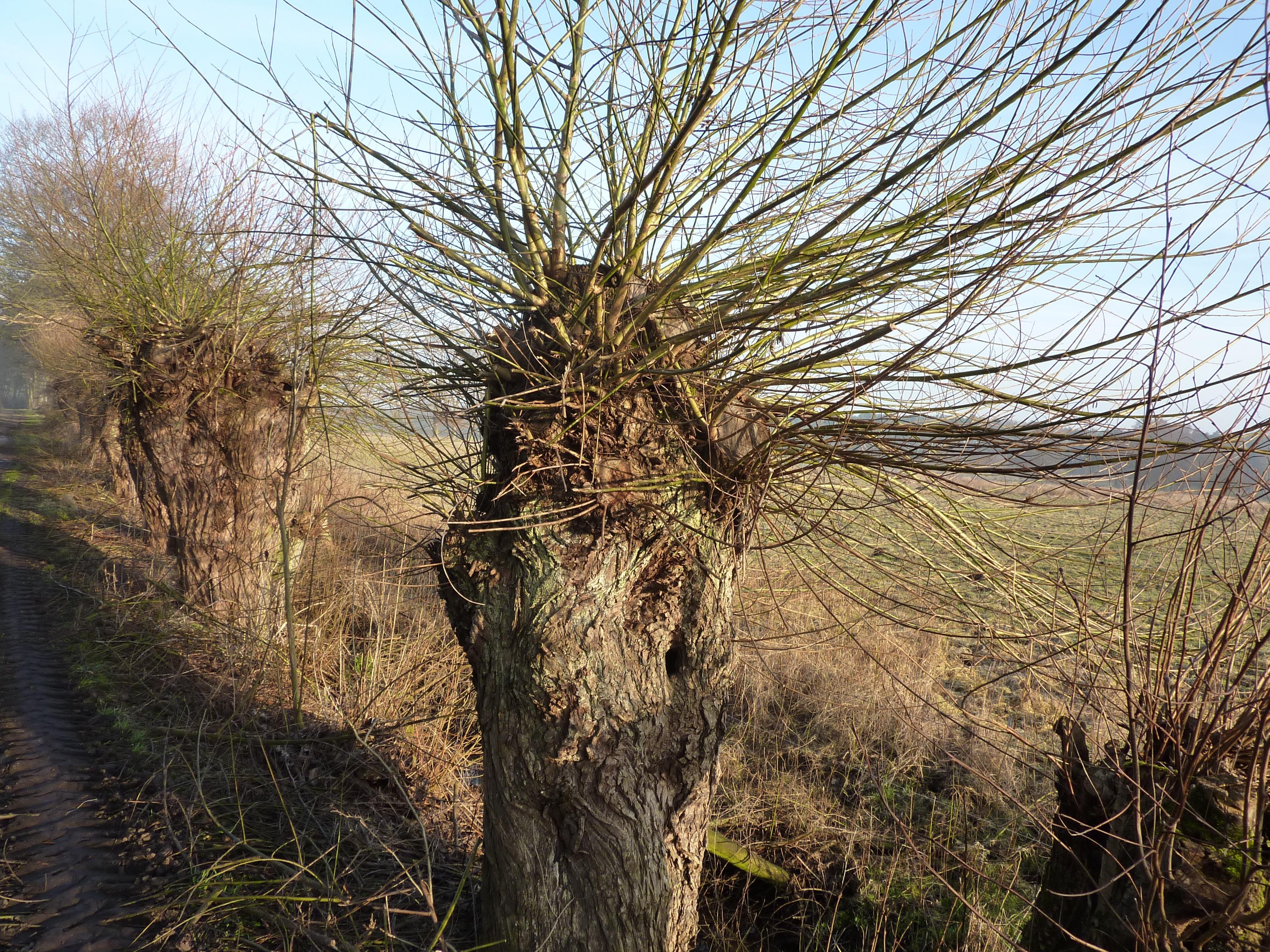 Kostenlose Foto Baum Kofferraum Weide Botanik Flora Flechten