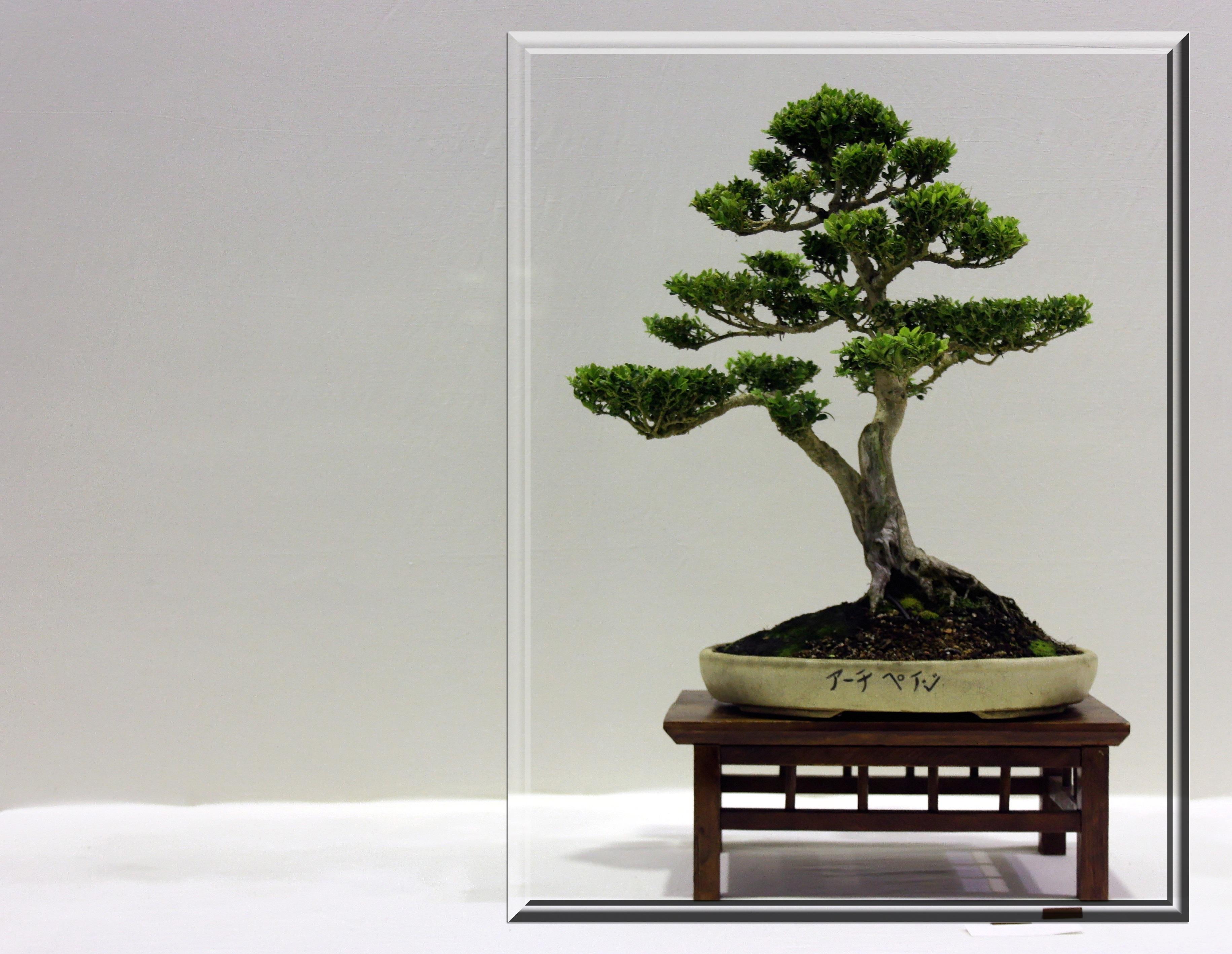 kostenlose foto baum pflanze kofferraum klein rahmen zimmerpflanze japanisch ge st. Black Bedroom Furniture Sets. Home Design Ideas