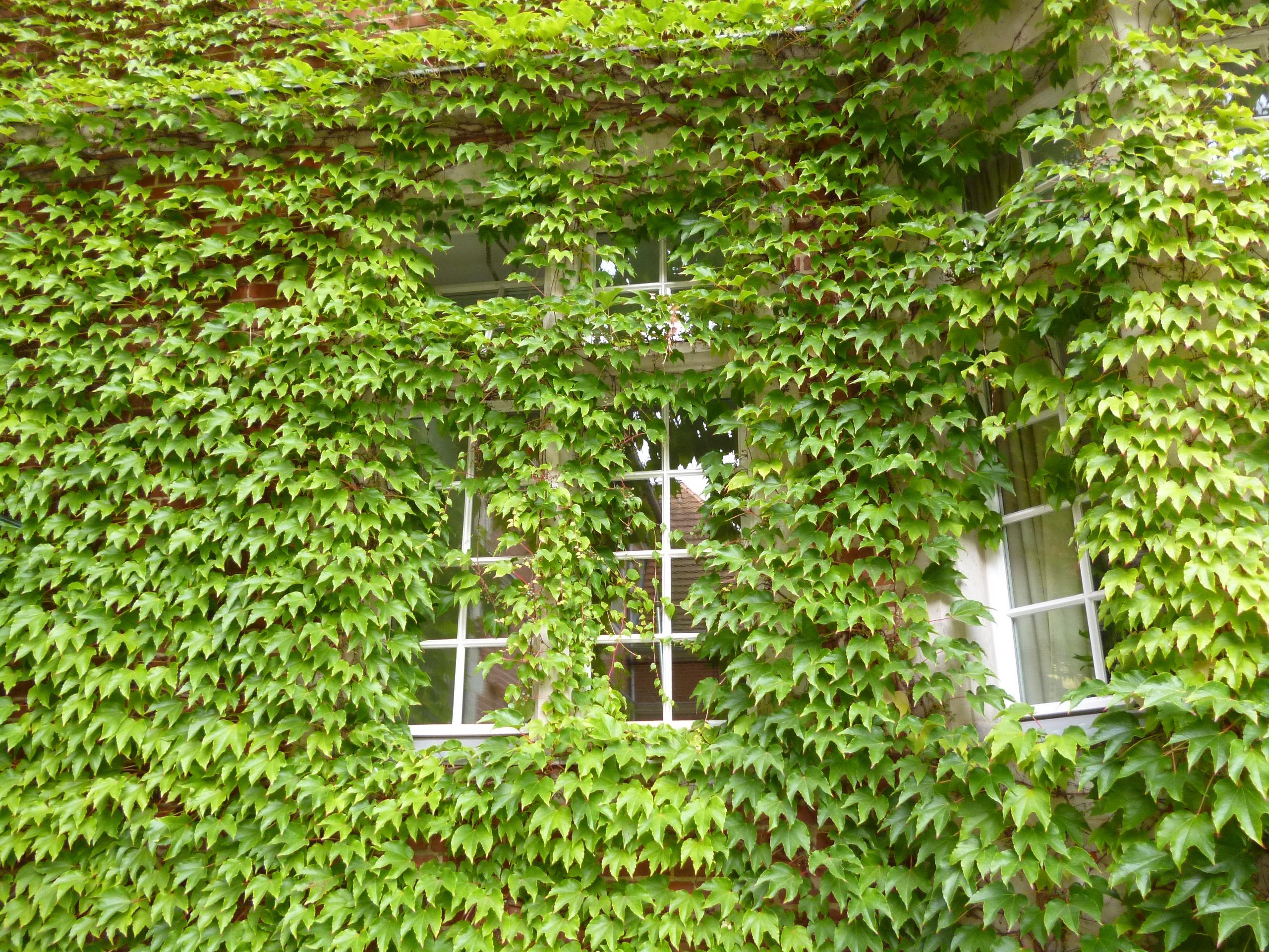 Kostenlose foto Baum Rebe Rasen Blatt Blume Fenster