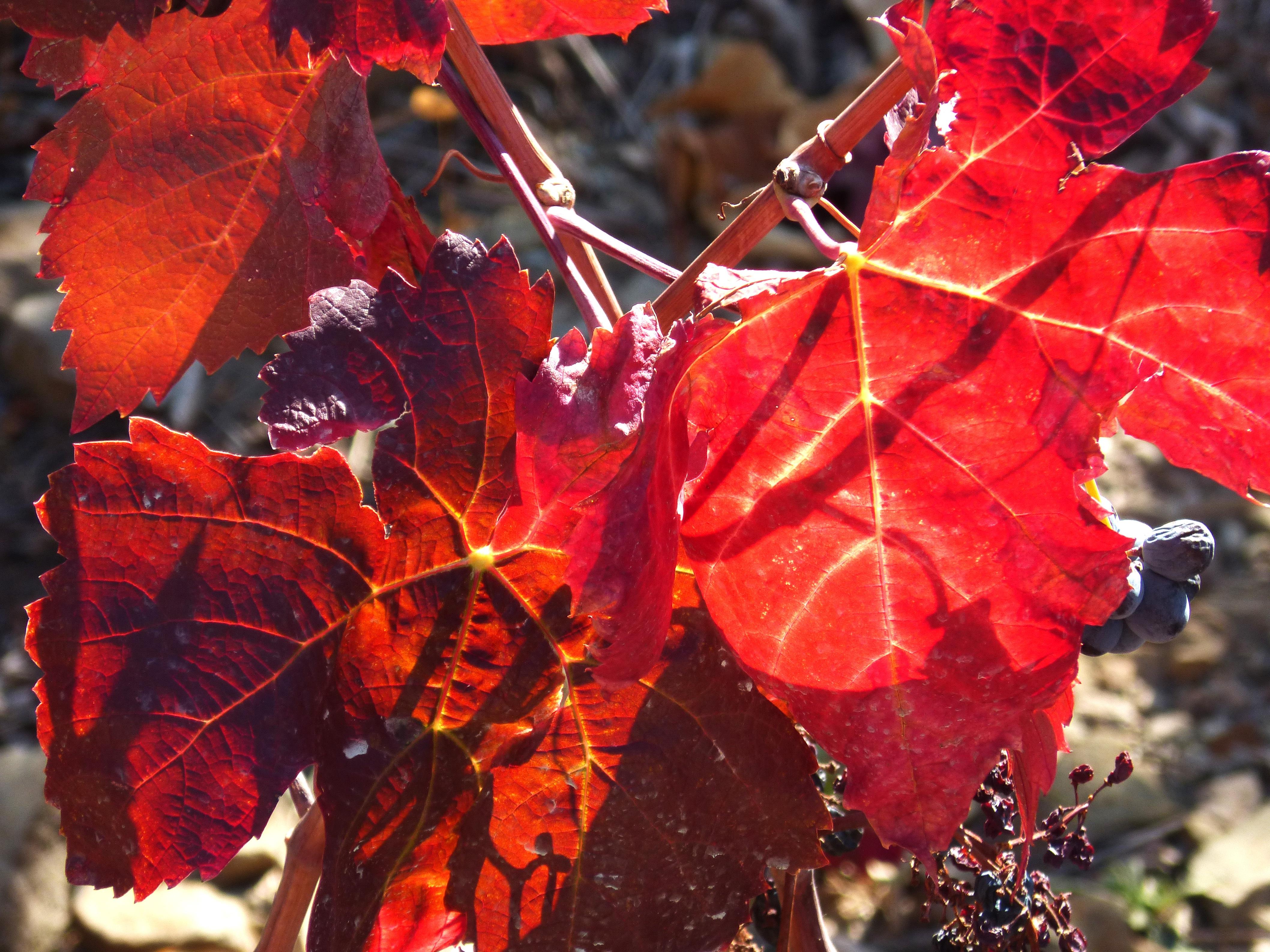 Célèbre Images Gratuites : arbre, vignoble, fleur, rouge, Couleur, l  BI73