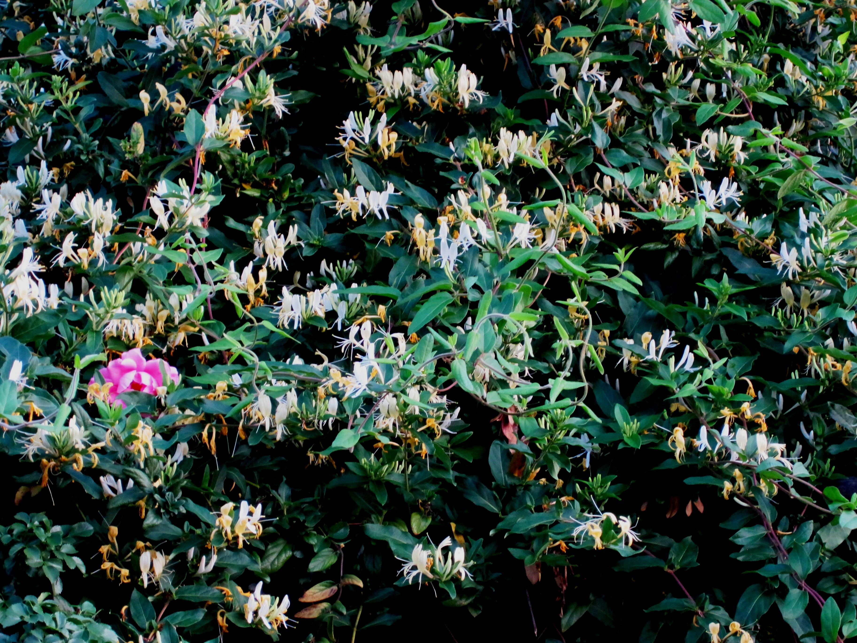 Free images tree white leaf flower spring produce evergreen tree plant white leaf flower spring produce evergreen botany yellow garden flora flowers shrub creeper flowering mightylinksfo