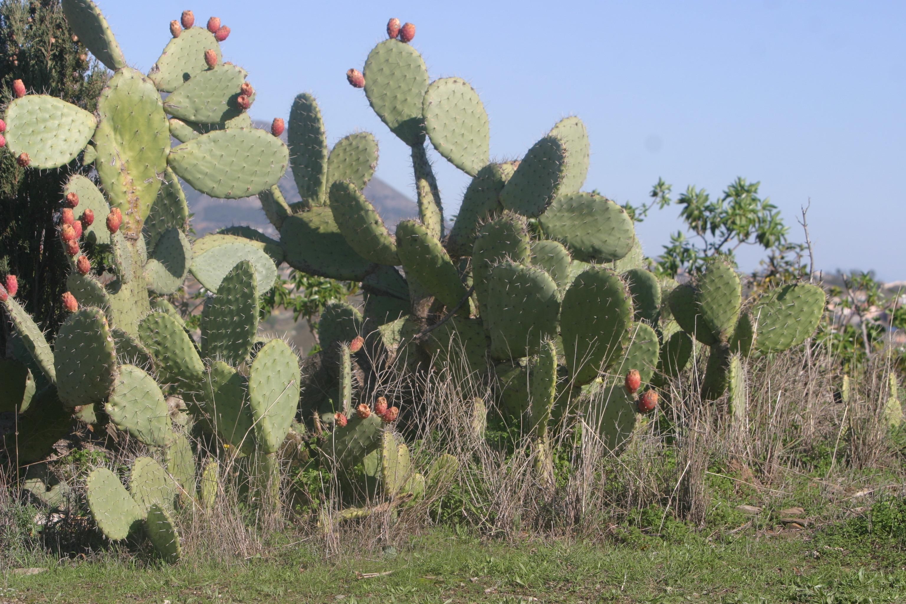 images gratuites arbre pineux cactus fleur aliments produire botanique agriculture. Black Bedroom Furniture Sets. Home Design Ideas