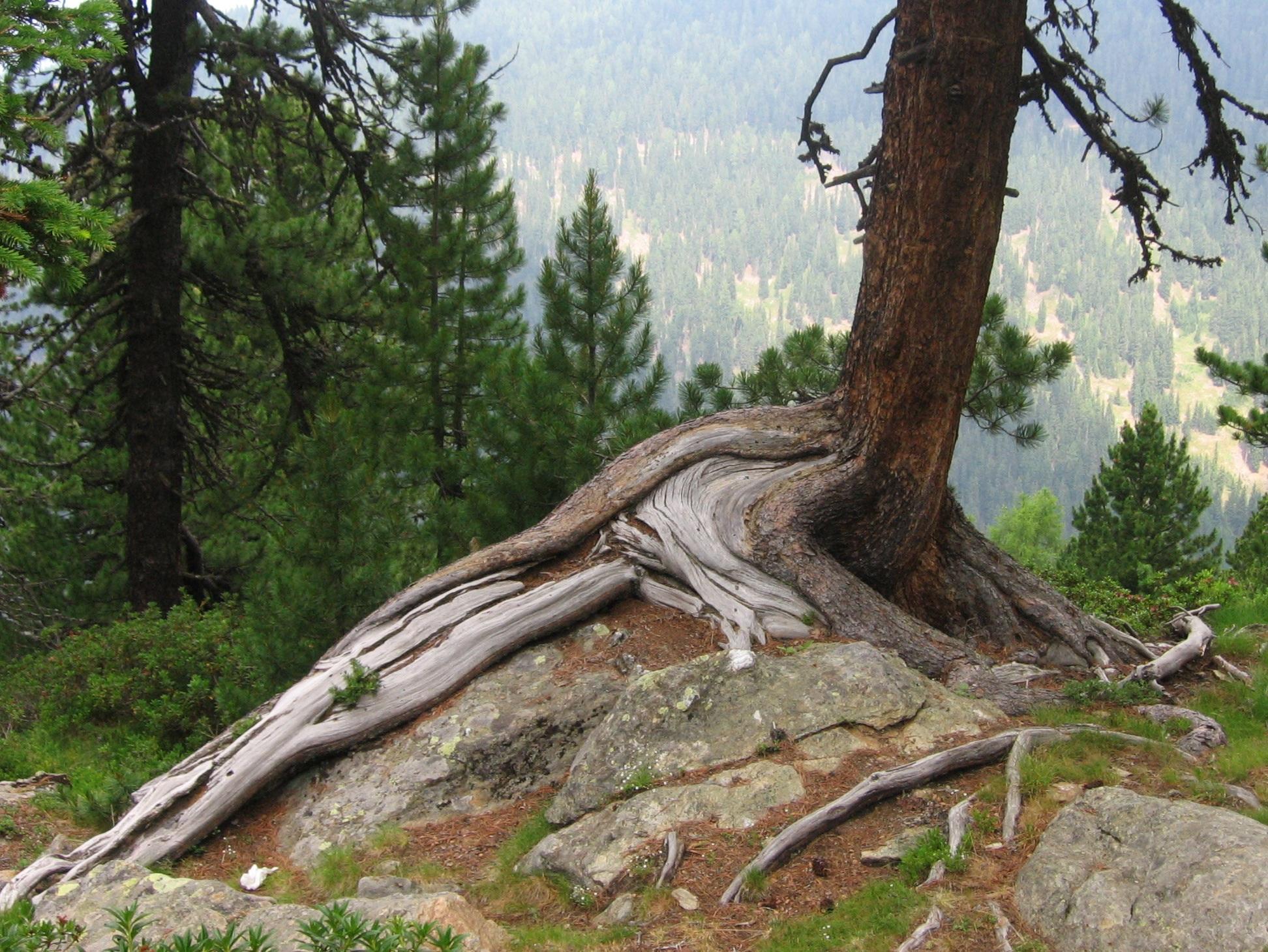 Images gratuites arbre roche branche plante tronc - Arbre a faible racine ...