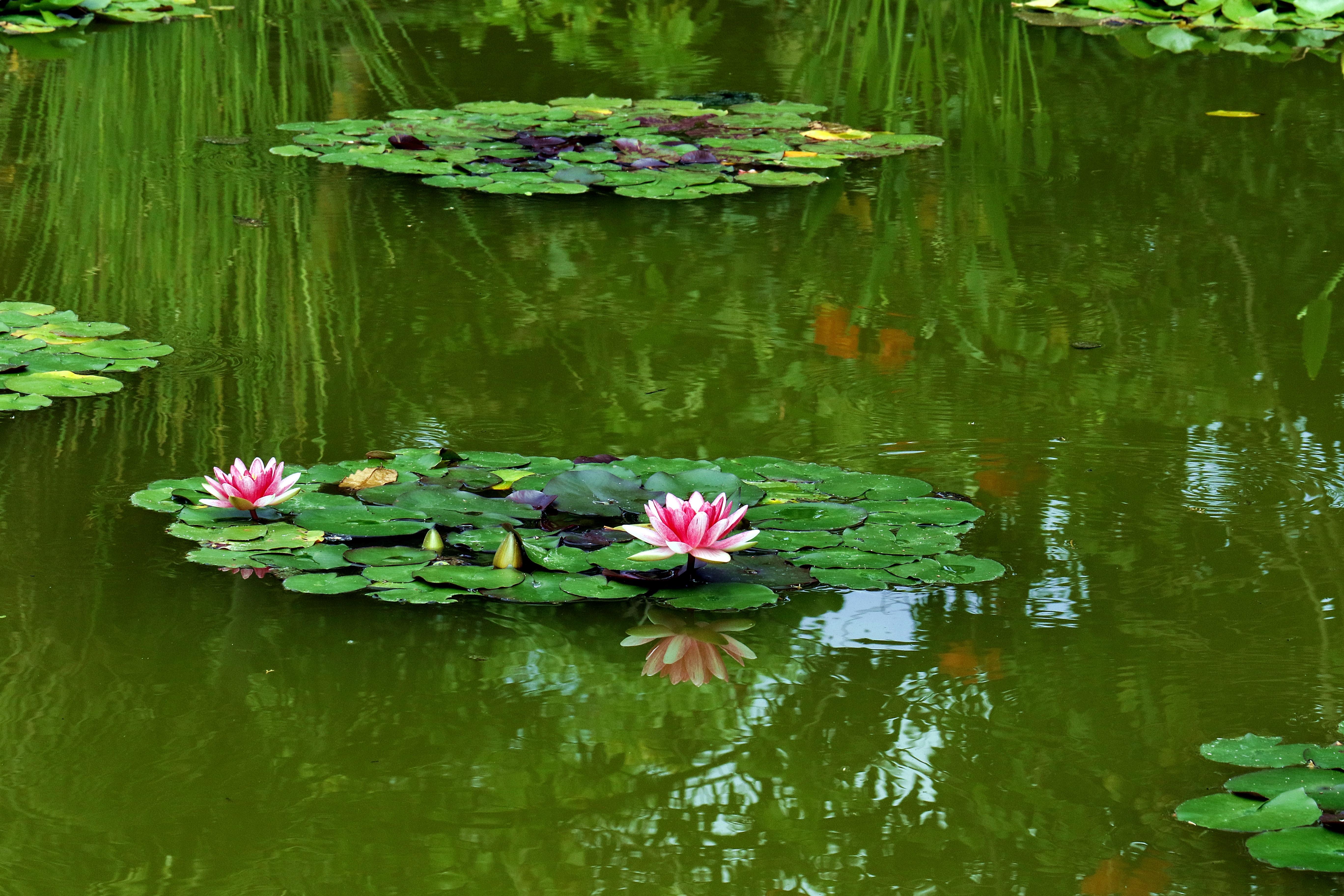 Картинка кувшинки на пруду