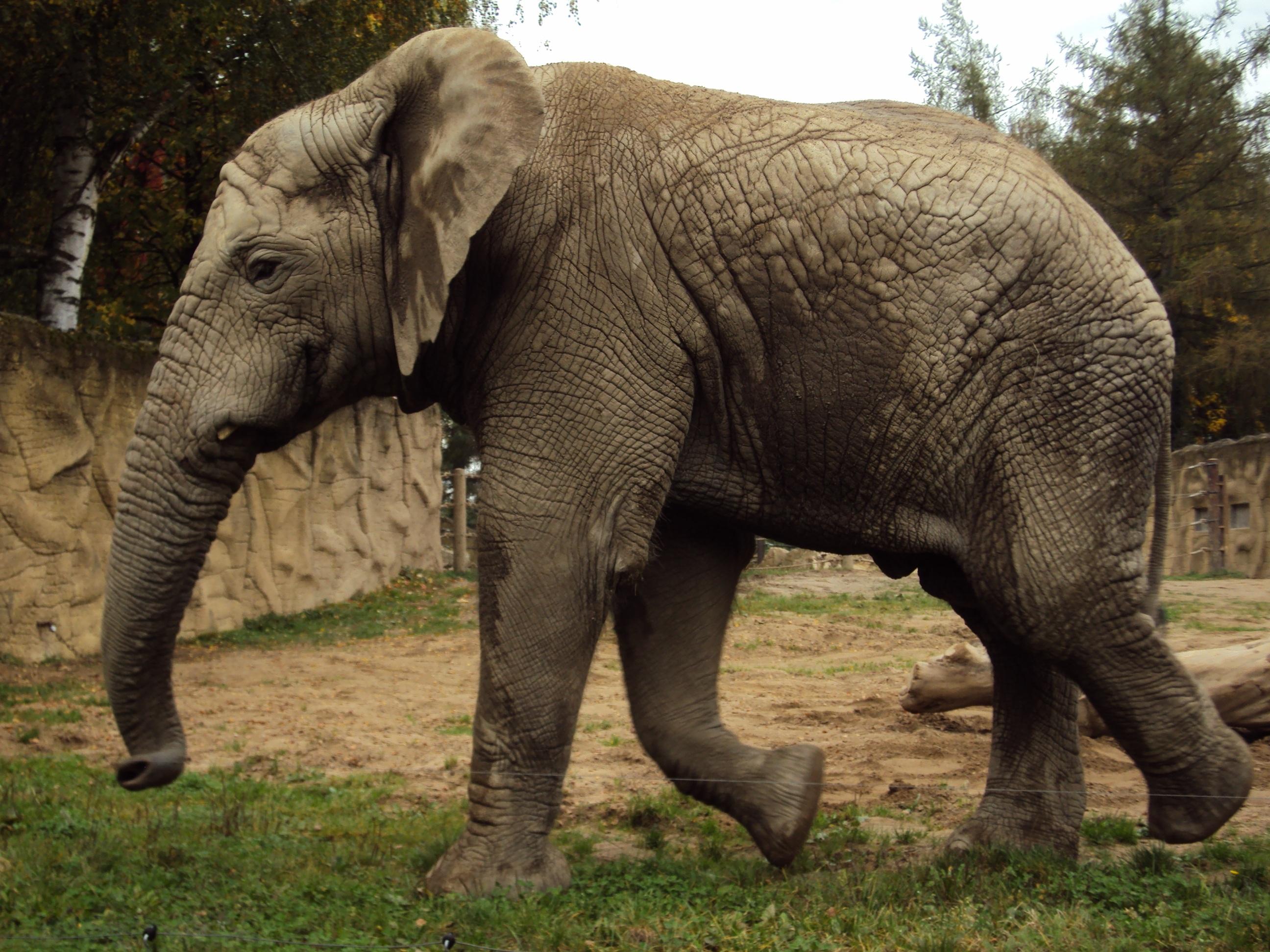 Images gratuites tronc faune zoo mammif re l phant gris animaux safari l phant - Photos d elephants gratuites ...