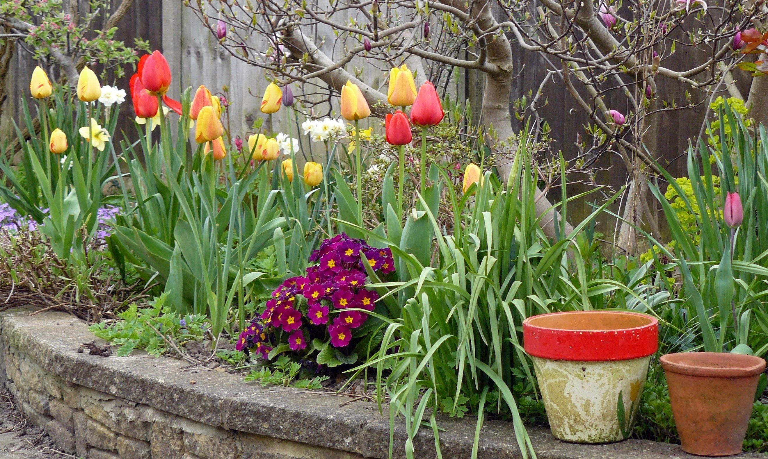 Plante Haute En Pot images gratuites : tulipes, plante à fleurs, tulipe