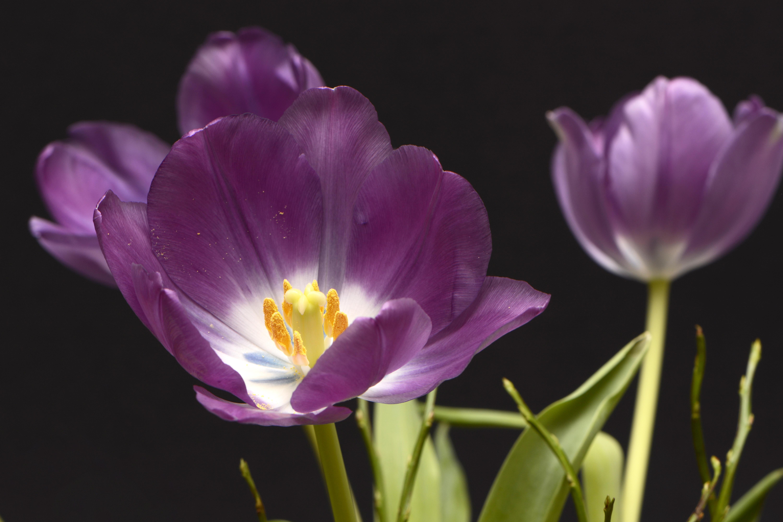 free images tulips tulpenbluete violet yellow white green