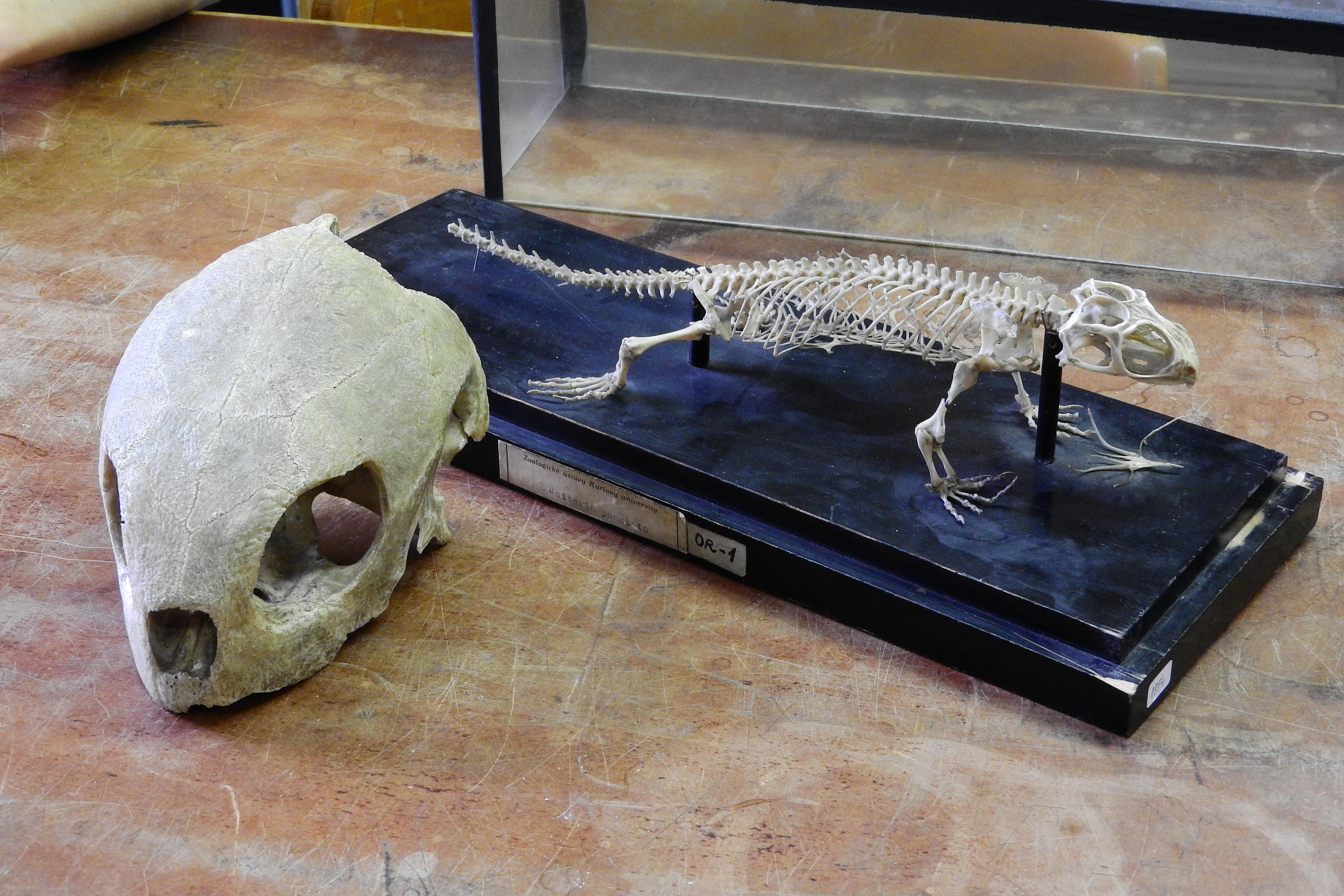 Fotos gratis : cráneo, escultura, esqueleto, tallado, Tortuga carey ...