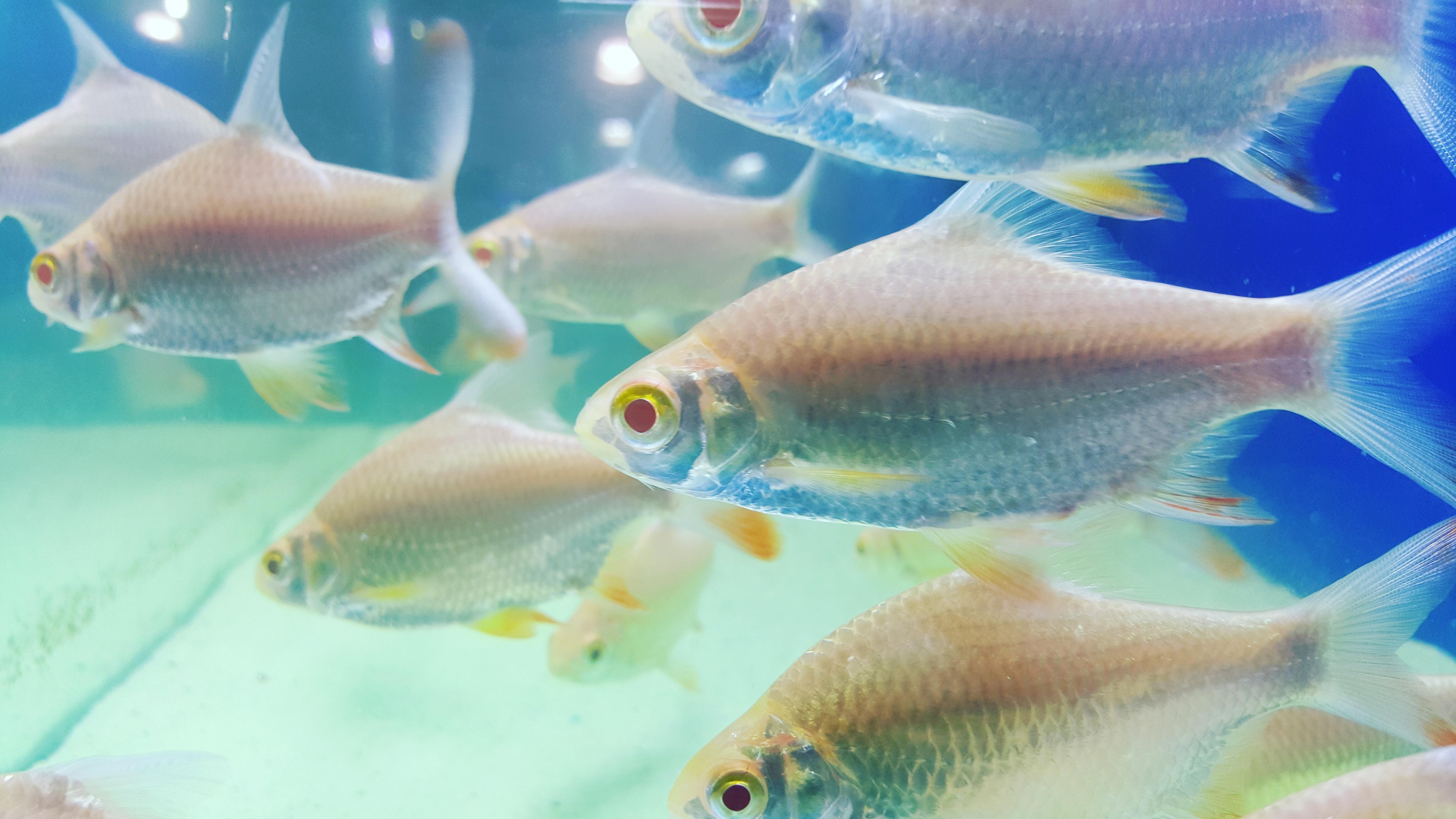 Free underwater aquarium goldfish snapper marine